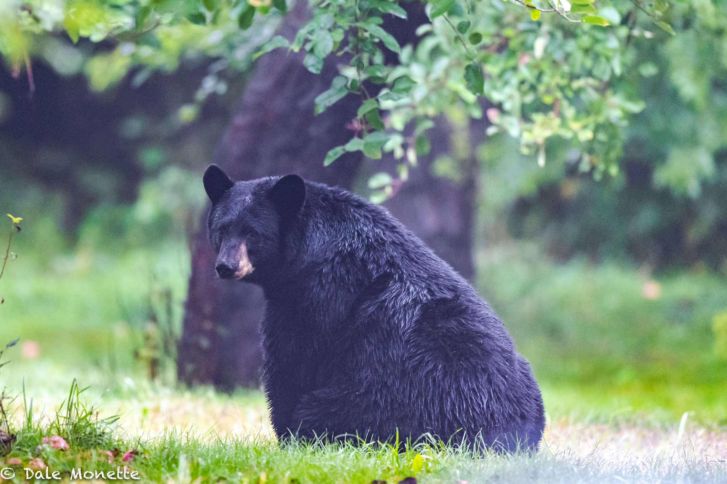 A wet, soggy, hungry black bear walked out in front of where I was setting in the woods on the edge of a big field getting soaked.  I've seen him a few times and nothing seems to excite him, the look he gave me when he discovered I was behind him says it all.