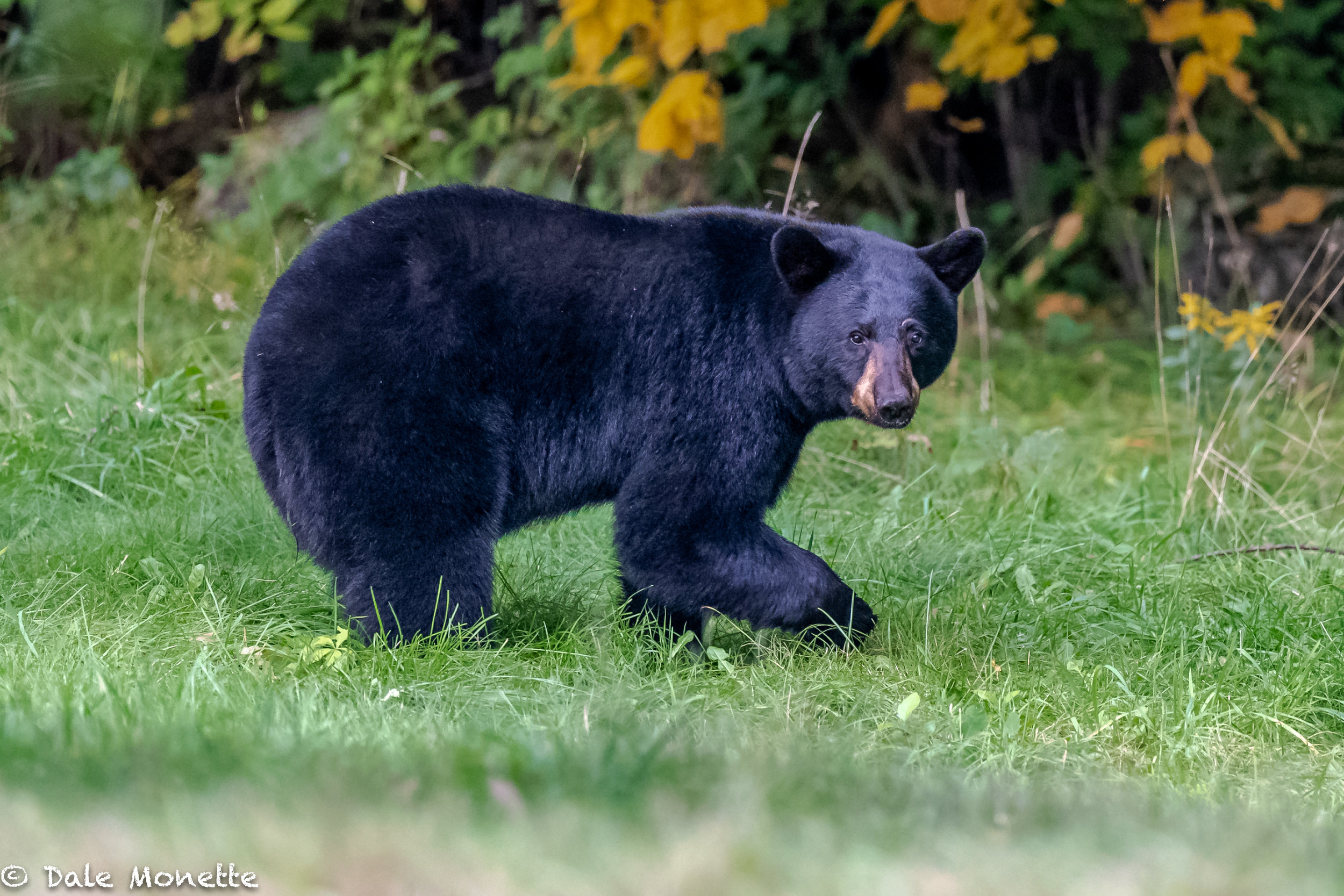 """This black bear (I named it """"medium bear""""), was just cruising the field one night at dusk looking for a midnight snack at about 6 PM ! …"""
