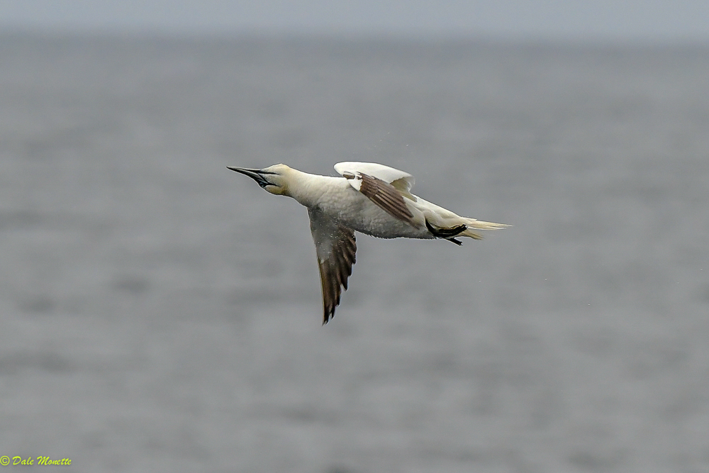 An immature northern gannet shakes off water after a break-neck dive for a fish off the coast of Northern Nova Scotia, Cape Breton Island, Eastern Canada