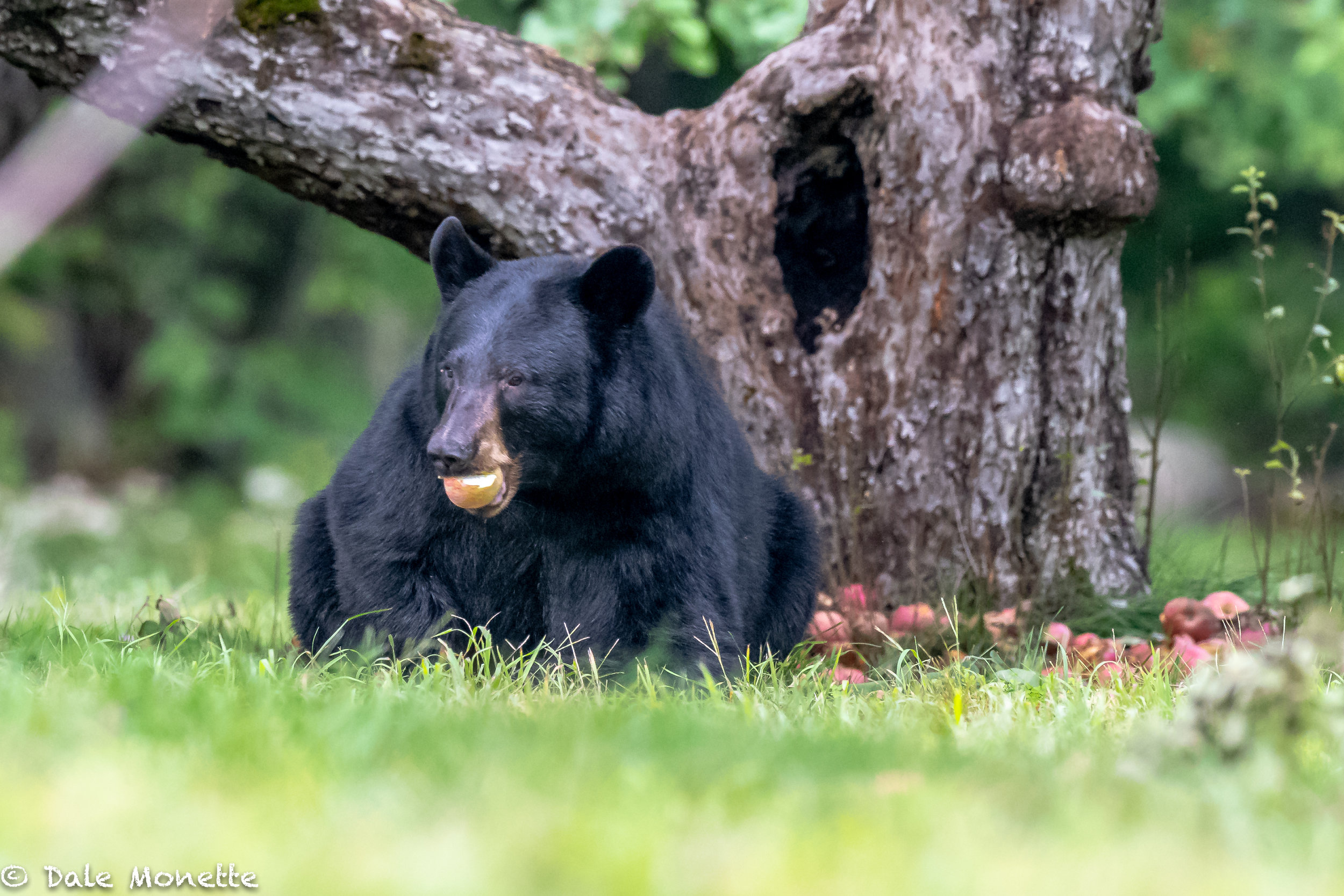 The same bear as in the last image…As you can see here, black bears love apples. This bear found the mother lode ! A black bear can eat a bushel (46 pounds) in one setting.  I'd puke !!