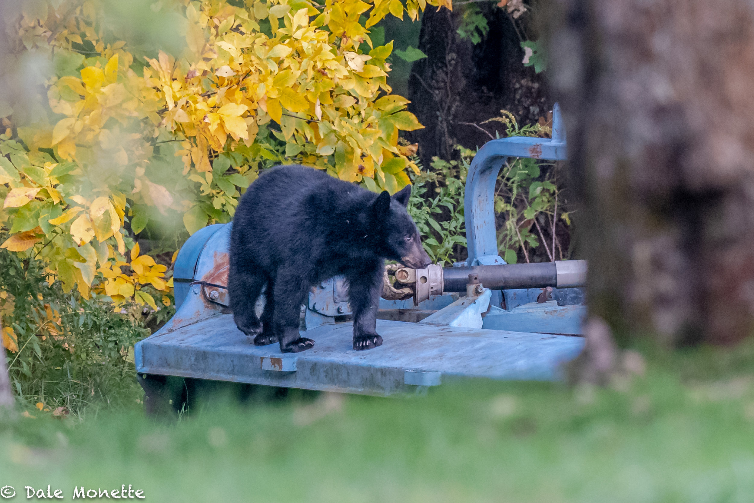 """One of the cubs investigating the mower on the tractor.  He's probably wondering where the """"bear grease"""" goes :)"""