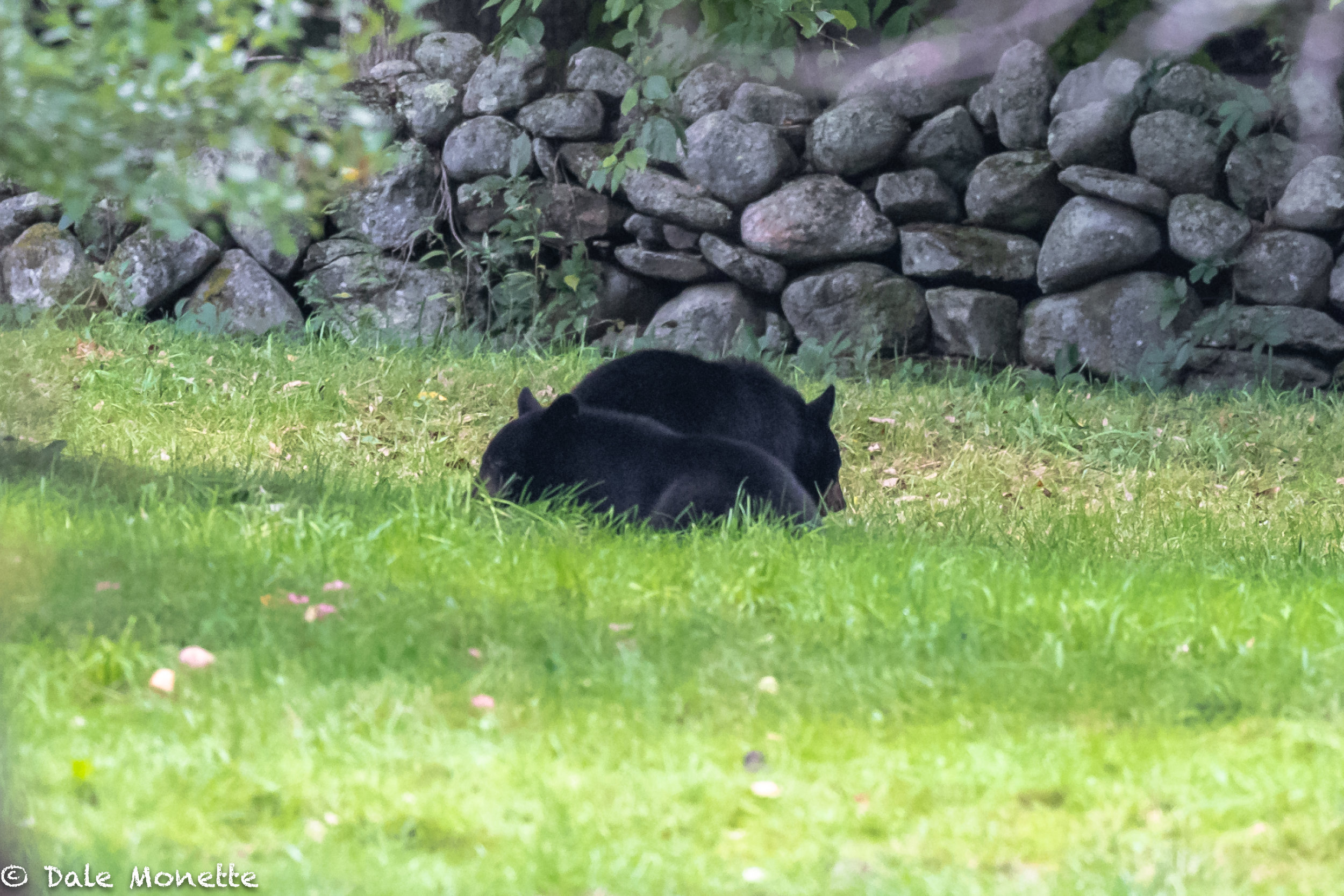 The 2 cubs bobbing for apples  in the grass ?