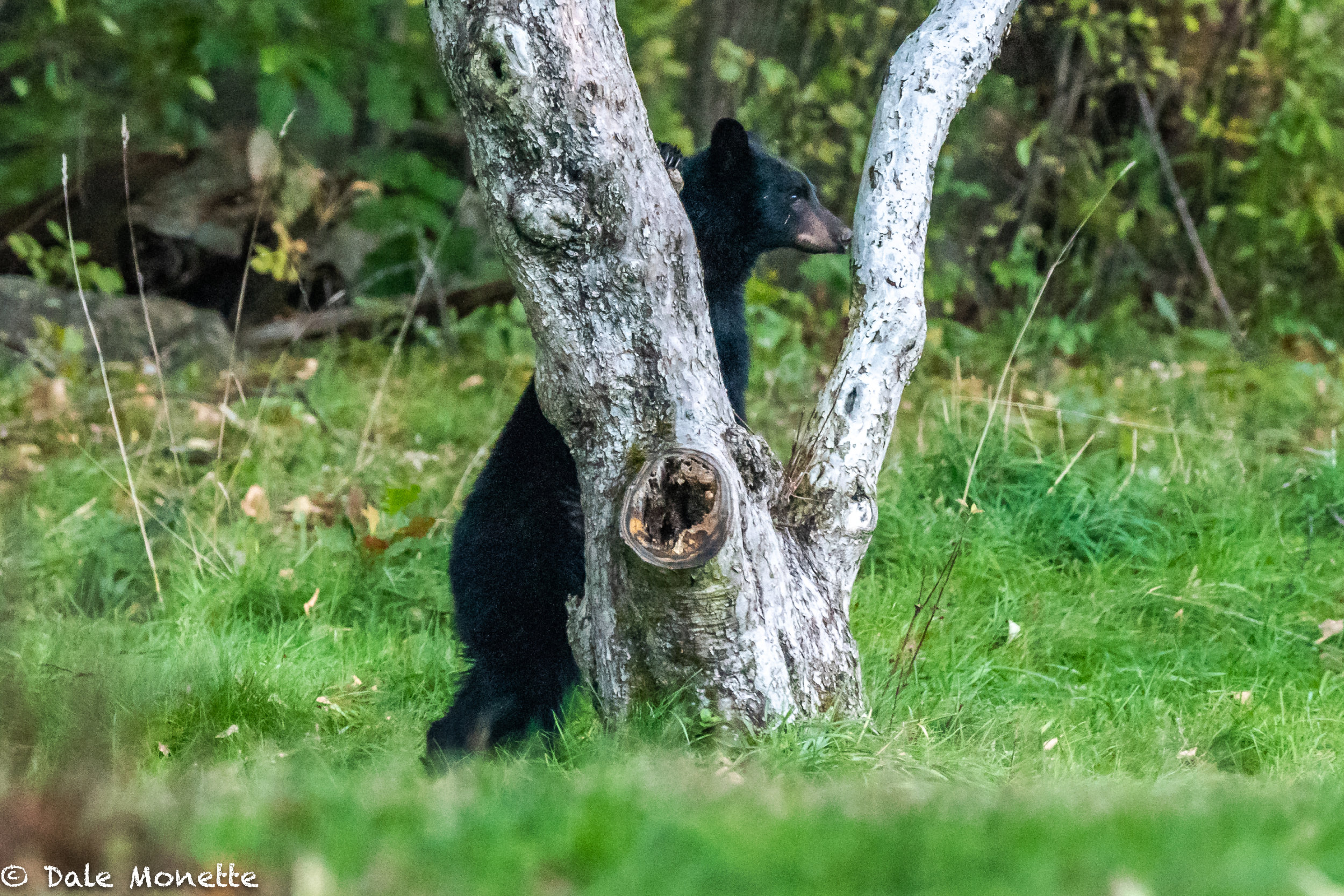 Unfortunately this bear couldn't hide behind this tree !