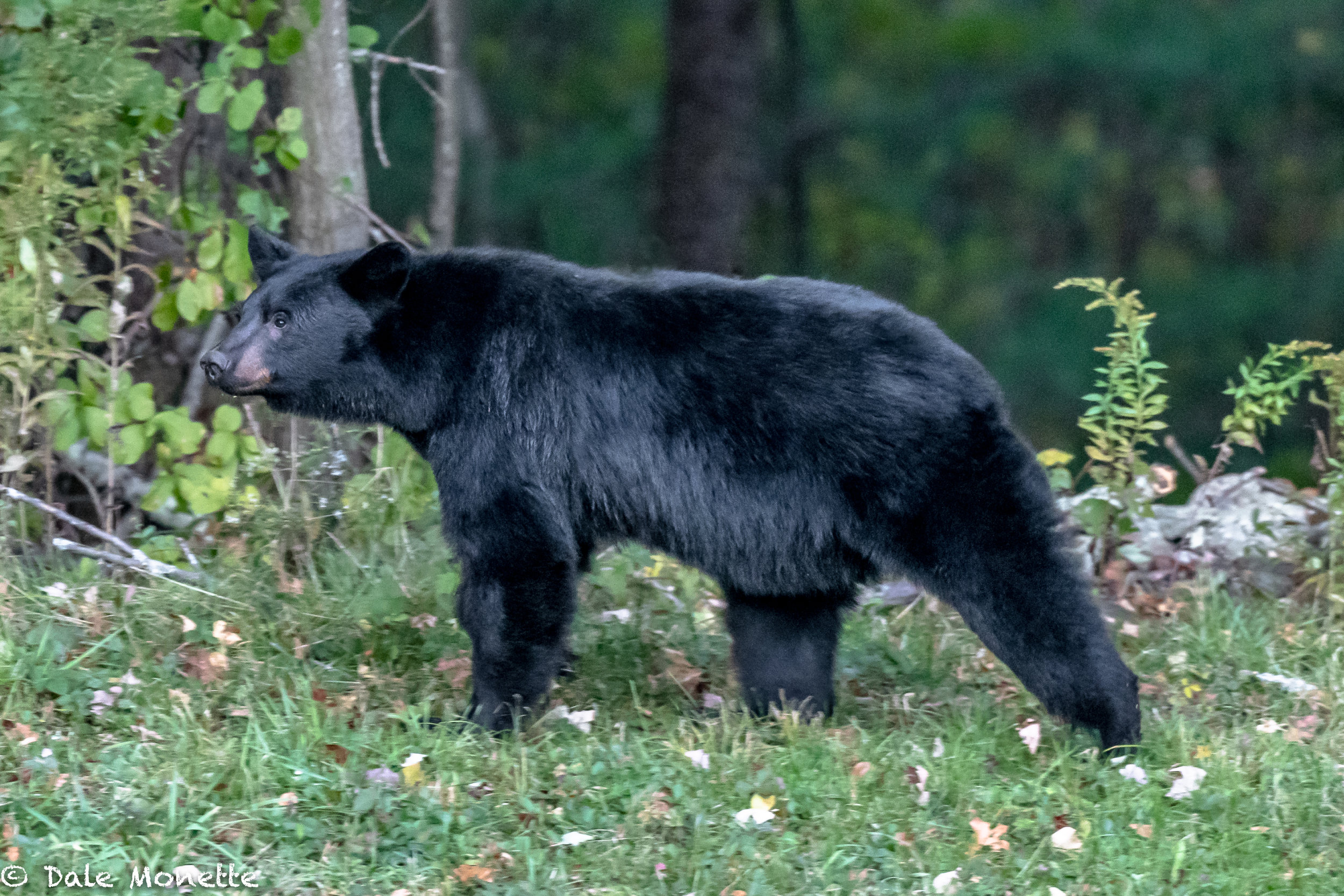 This bear walked out right in front of me one evening and started sniffing the air. Researcher say a bear can smell a piece of chicken grilling from 5 miles away. Their sense of smell is 7 times that of a blood hound. Within 15 seconds it shot into the woods like lightning. Black bears are very timid and skittish creatures. When I did see them run I was amazed how fast they could go. They can run up to 35 mph in short bursts.