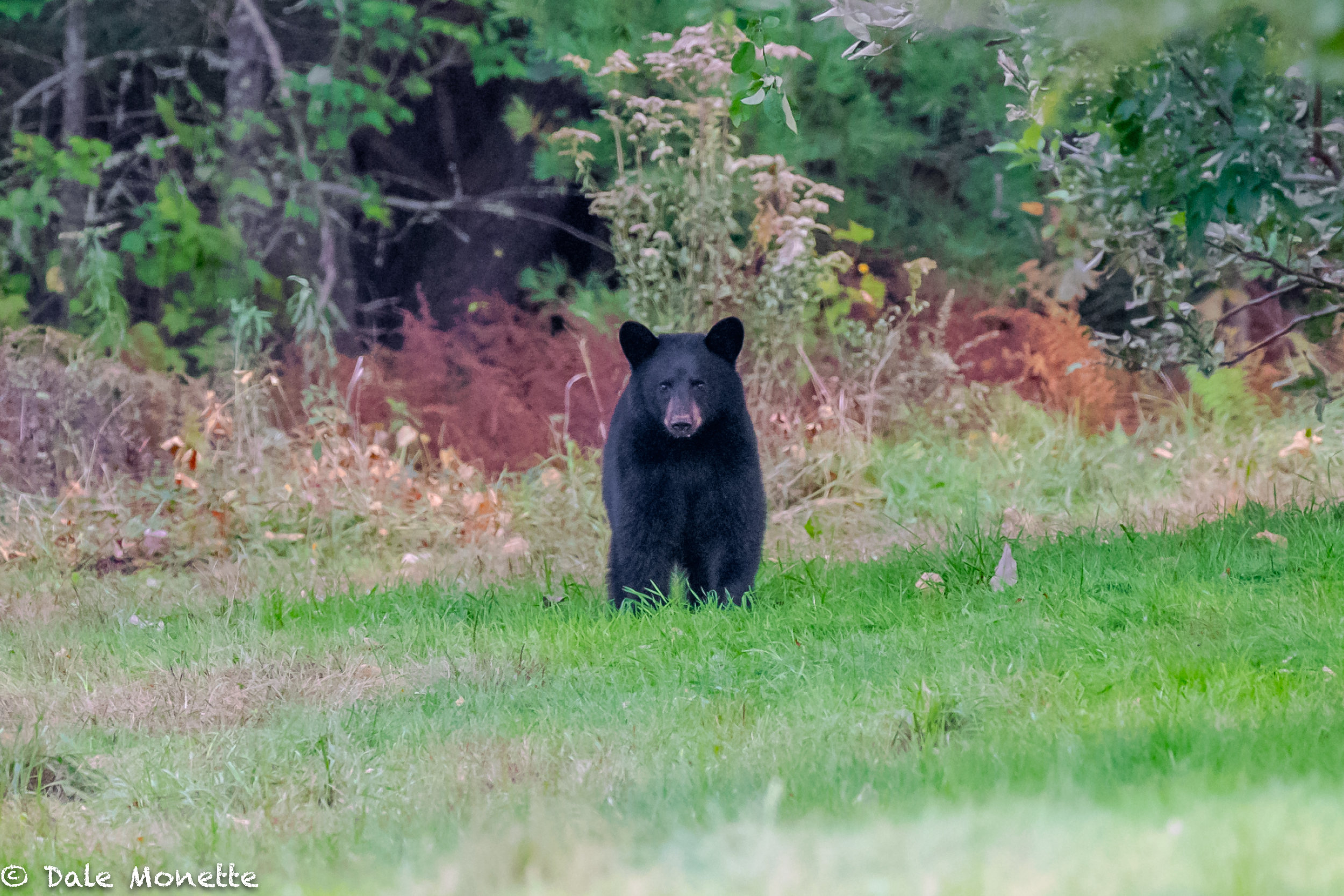 This small bear was after apples. I was about 175 yards away from him when he appeared. He spotted me behind the wall and in the woods but the power of the apples overpowered him and he must have figured I wasn't a threat and carried out his plan.