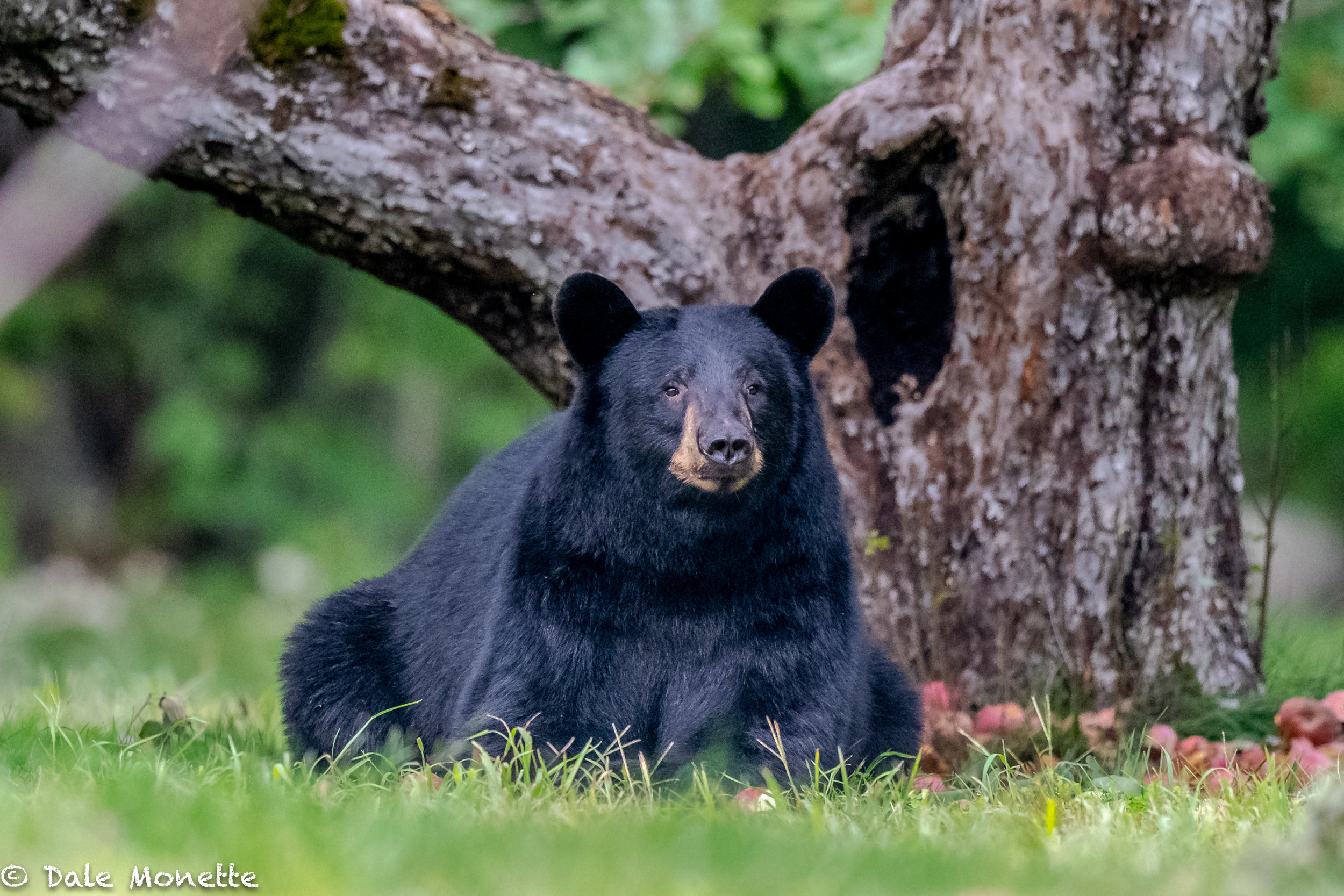 Welcome to my bear page. As you scroll thru these images please be aware that I used a Nikon 500mm telephoto lens with a Nikon D850 camera. Most of these images were taken at ISO 4000 and a few at ISO 5000 with shutter speeds at 1/80 to 1/250. They were taken at dusk or dawn. At no time did I disturb the bears or get within 50 yards of them. Sure, they saw me but sometimes that was all and they left quickly and sometimes they wandered off feeling I was as of no threat. I also had permission to be on the property. Enjoy the bears and please DO NOT FEED BEARS !