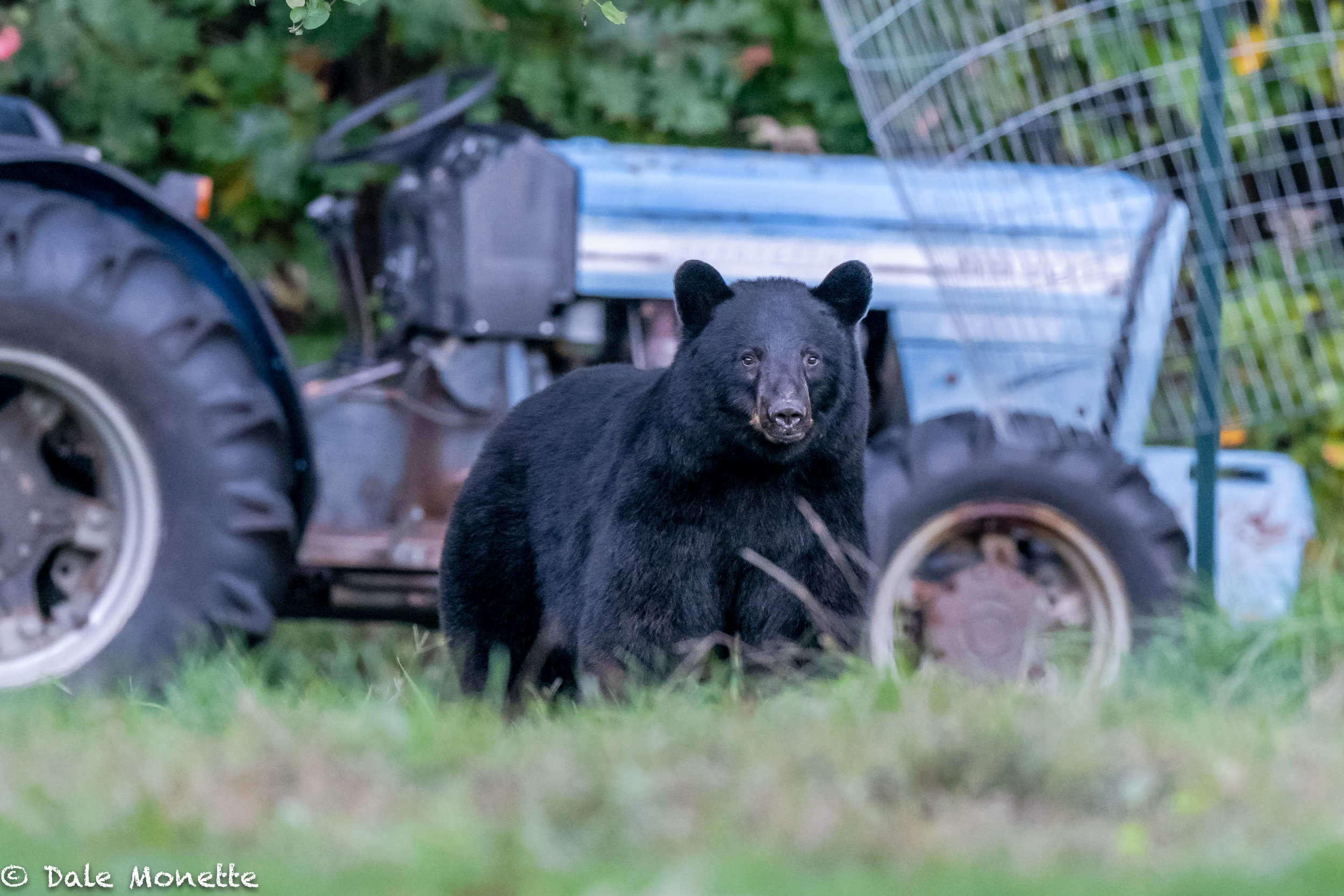 On another evening about dusk I spotted the same sow with her 2 cubs walk out of the woods by this tractor used for mowing. The cubs spent a few minutes walking all over it. I don't think they had ever seen one.