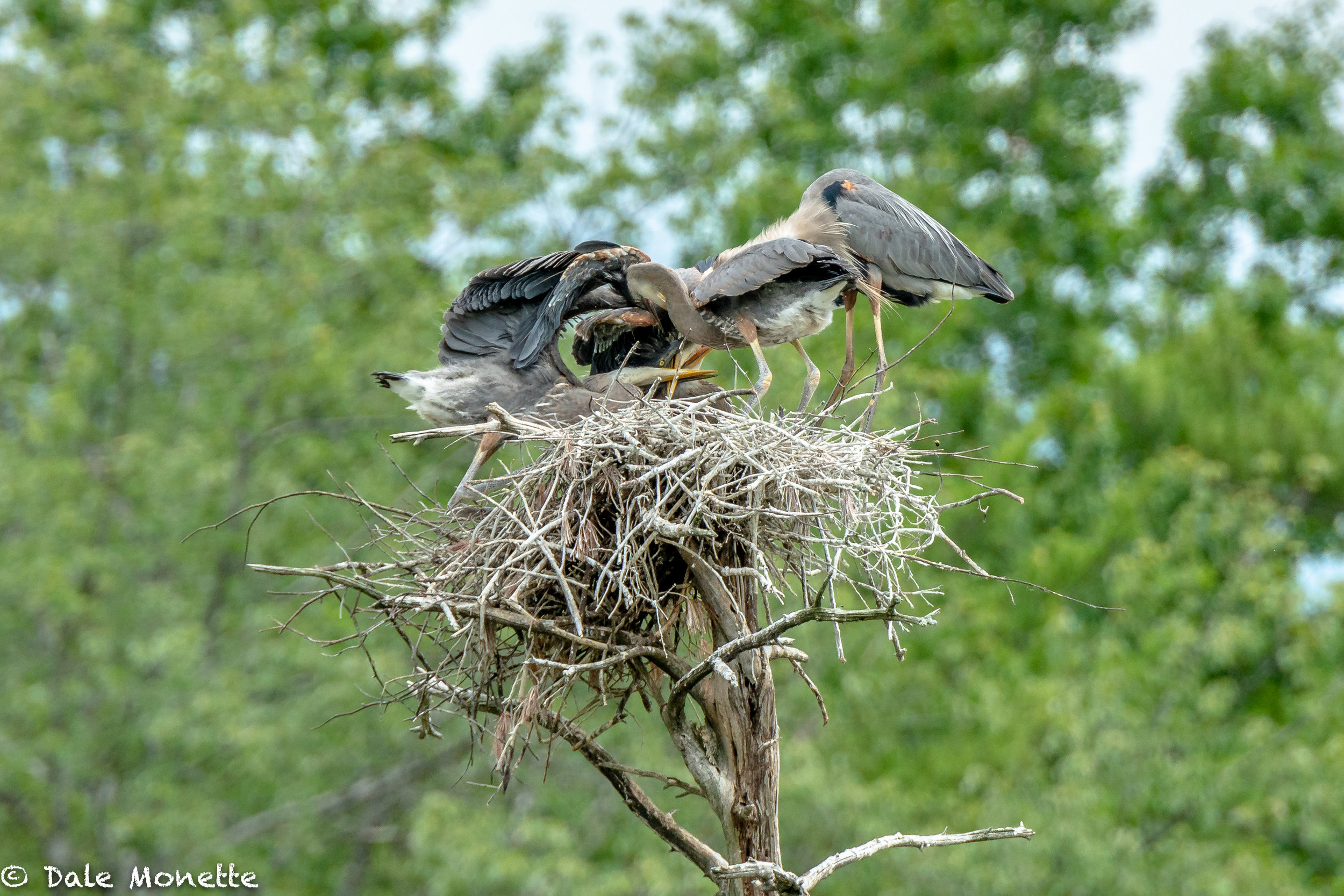 Here's a photo I took in summer of 2016. There are 4 great blue herons in the nest. An adult and 3 chicks at feeding time. Can you see the chick on the bottom upside down trying to catch some fish from mom ?