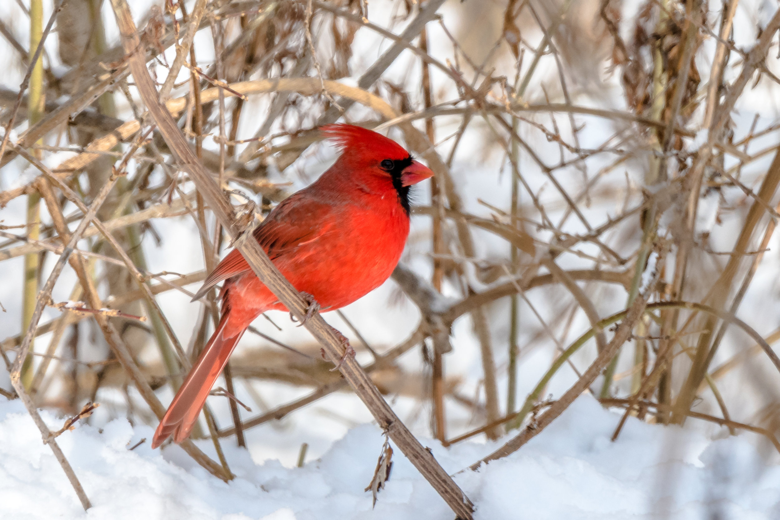 The male cardinal has been here year round with his mate. They come out at dusk and early morning no matter what the weather is.