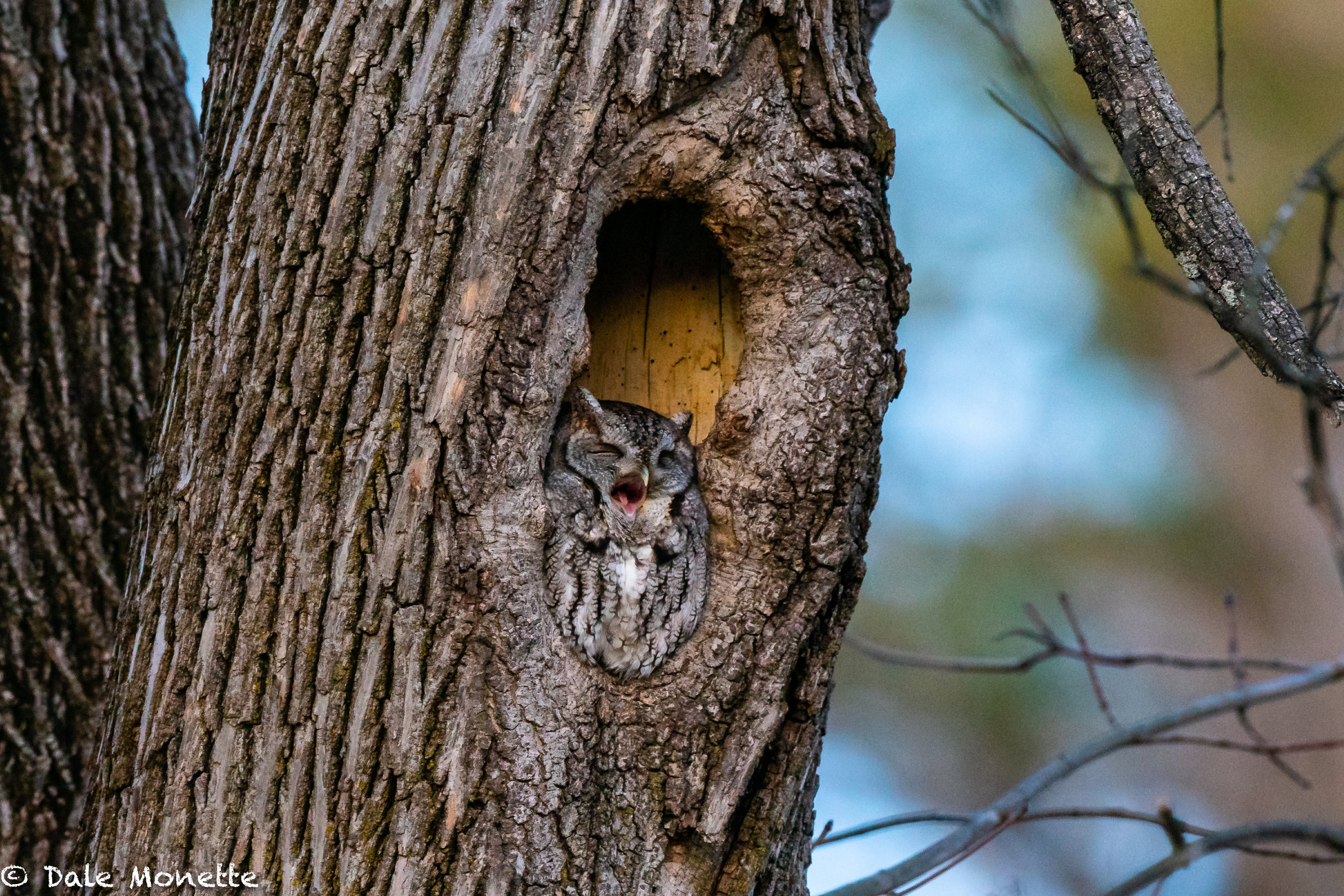 I was lucky enough to spend about an hour with this gray phase screech owl at sundown yesterday in southern New Hampshire. What a cool little bird. He woke up and finally as it was so dark we could hardly see him, he flew !
