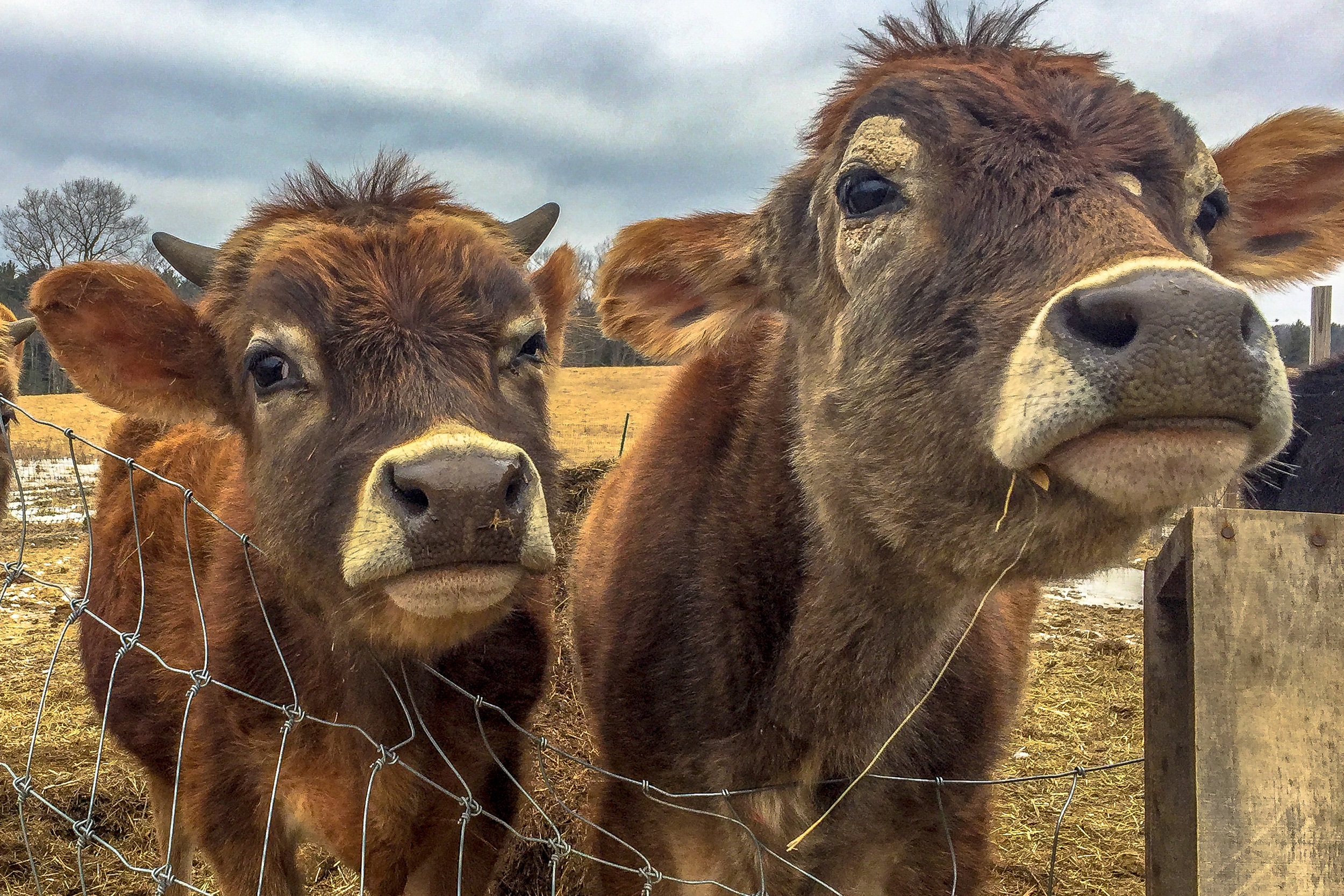I could not resist taking photographs of these two cows at one of my friends farm as they walked over for a visit…..