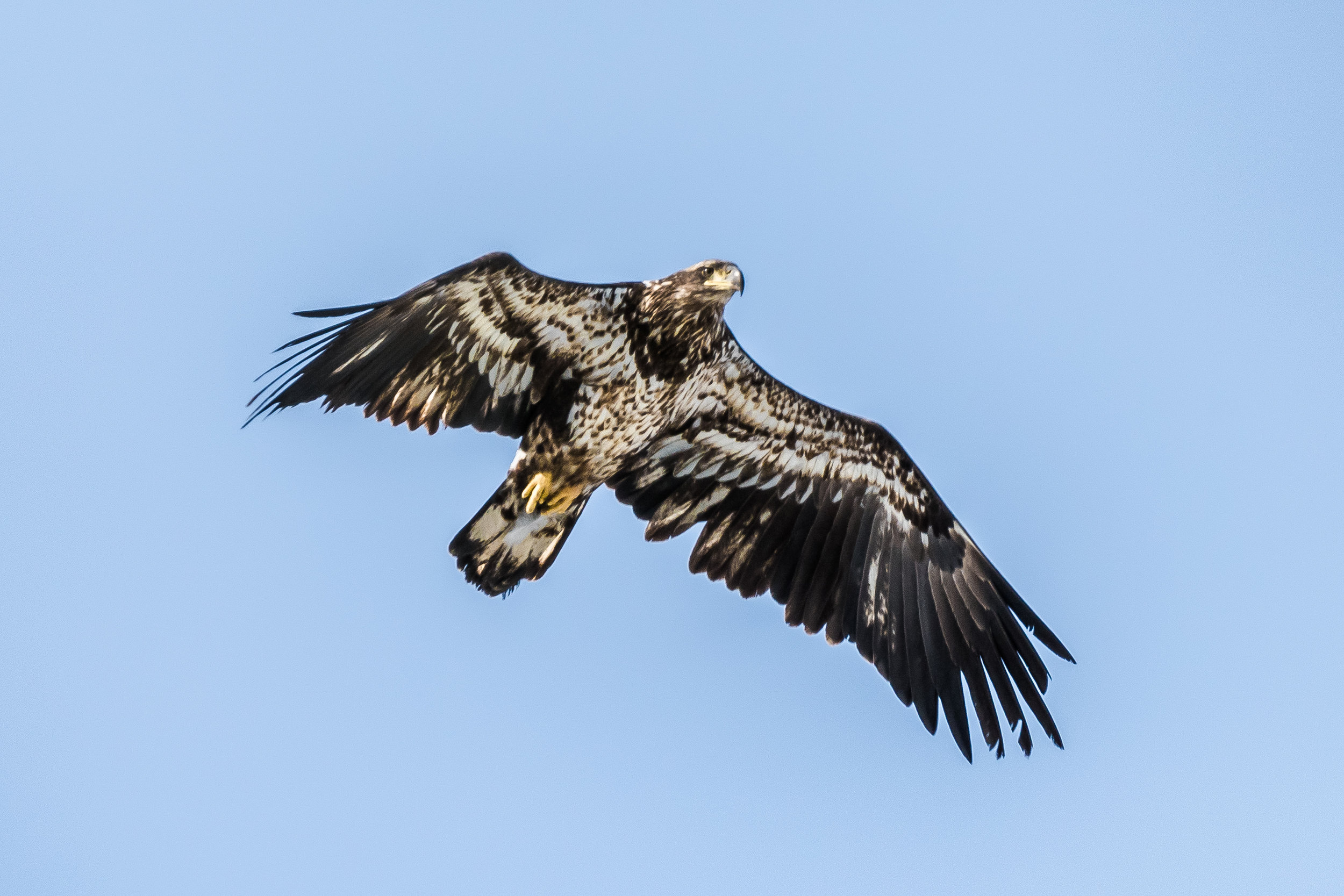 This juvenile bald eagle eagle went zipping right over me a few days ago. I just had enough time to get the camera up.