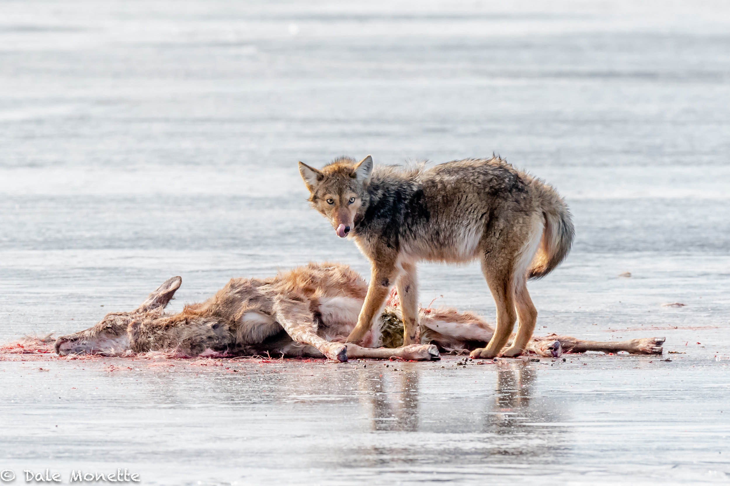 A lone coyote stands over a white tailed deer carcass he and his pack probably brought down on the Quabbin ice. Coyotes do not kill for fun and they only take wounded or sickly deer for food. Every speck of that deer will go to feeding eagles, bobcats, ravens, crows and coyotes. When the venison is all chewed off the bones, the coyotes will drag them into the woods to crunch on. It's gruesome , but its nature.