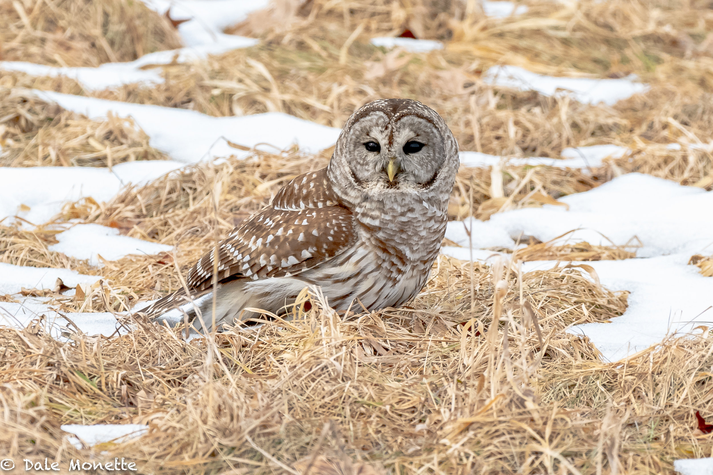 "The most common owl in New England. The barred owl..  ""who cooks for you alllll"".."