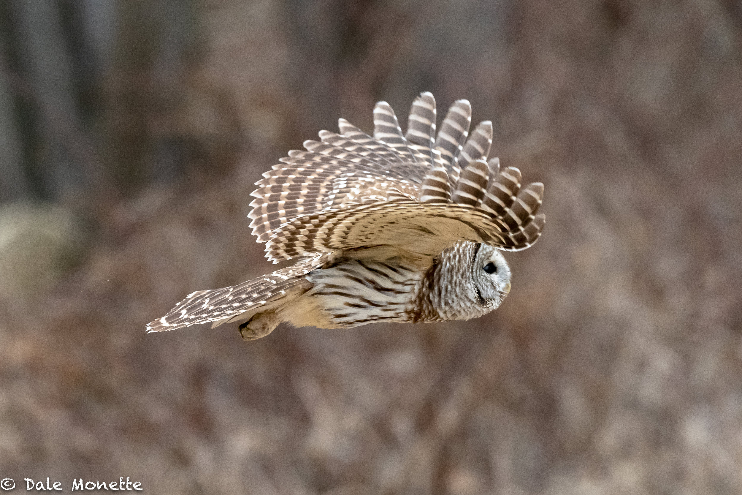 This barred owl flew right by me while hunting the perimeter of a big field. Mice on the menu !