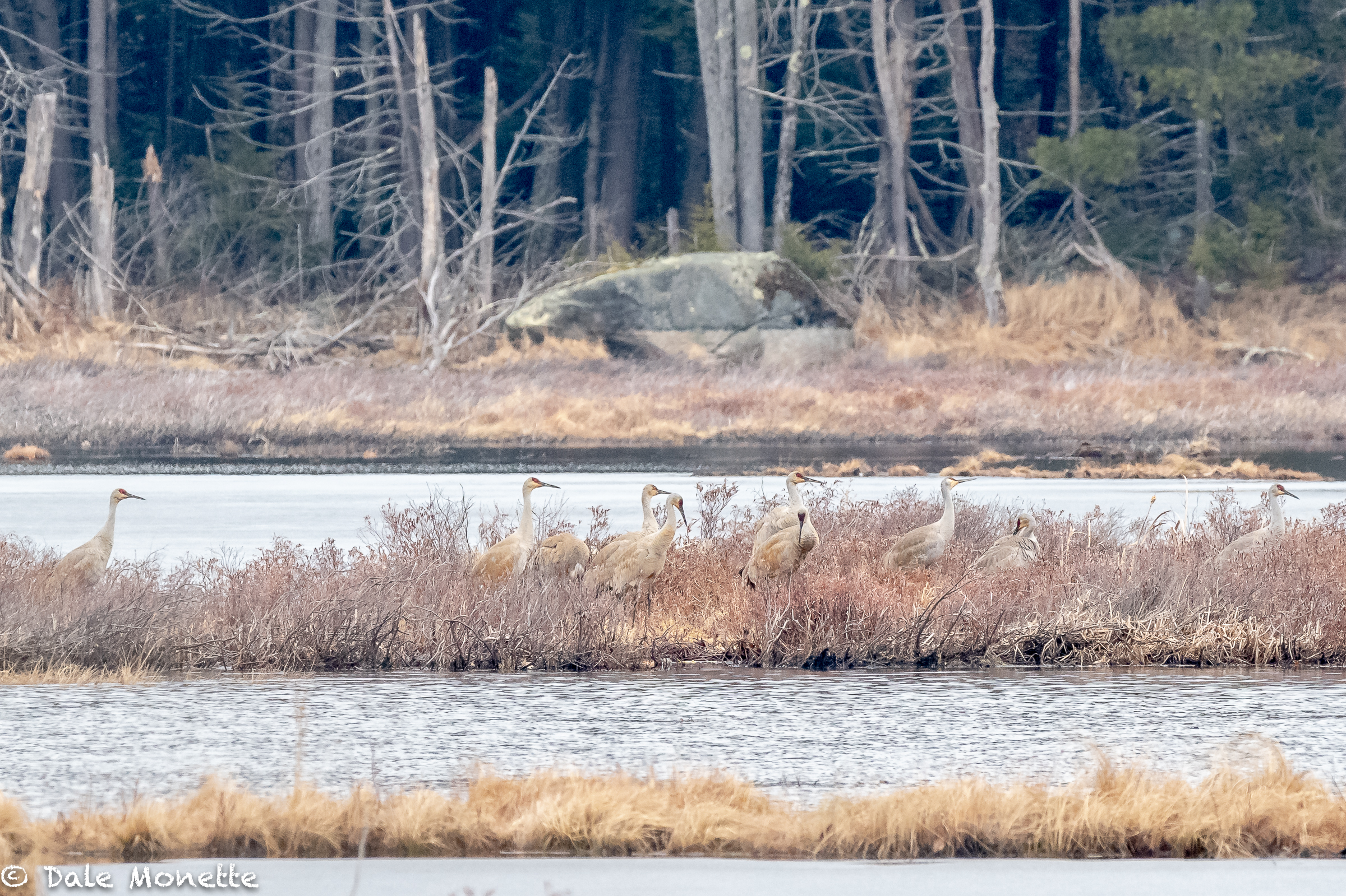 I was given a tip about these 10 rare Sandhill Cranes today.  They were in a large swamp/bog in Royalston MA. A pair of bald eagles also live in this large swamp.  They left at about 1:30 and headed dead north on their way migrating.  A great sight.