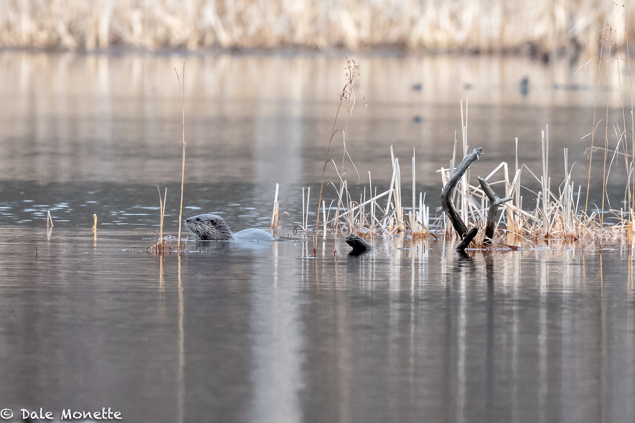 The ice finally left the local ponds for the most part. The first thing I saw was this otter that seen this same guy for about 5 years in the same pond. He has a light blond patch of hair on the right side. You can see him last spring at the end of this sequence of images.