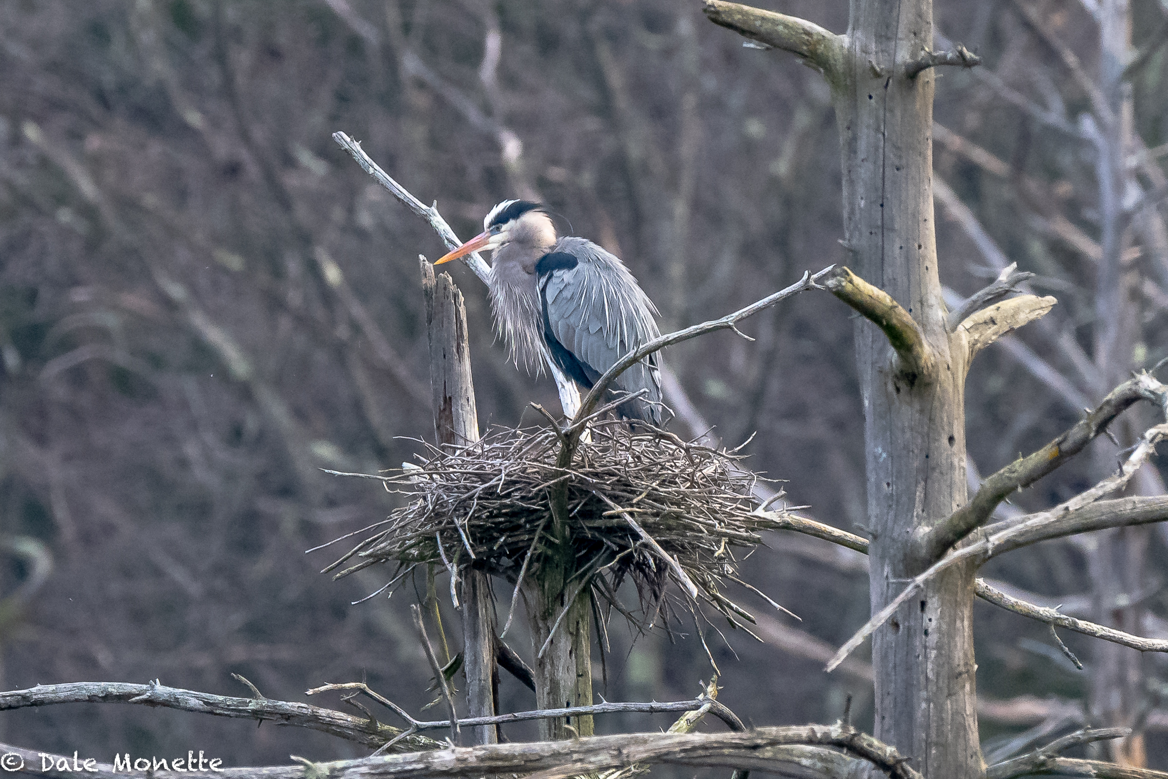 Great Blue Herons are back on their local nest. YAY !!