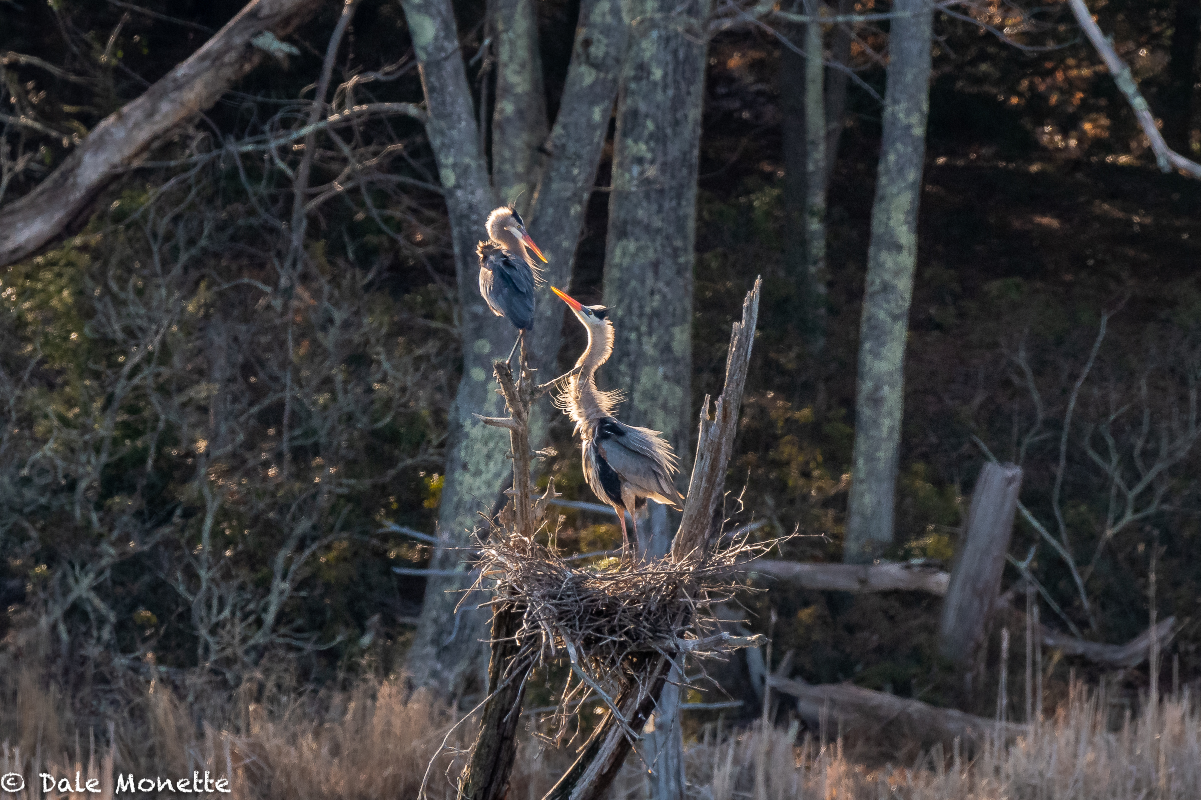 It's that time of year when the goofy Great Blue Herons are rebuilding the nests from overwintering and doing their mating dances.