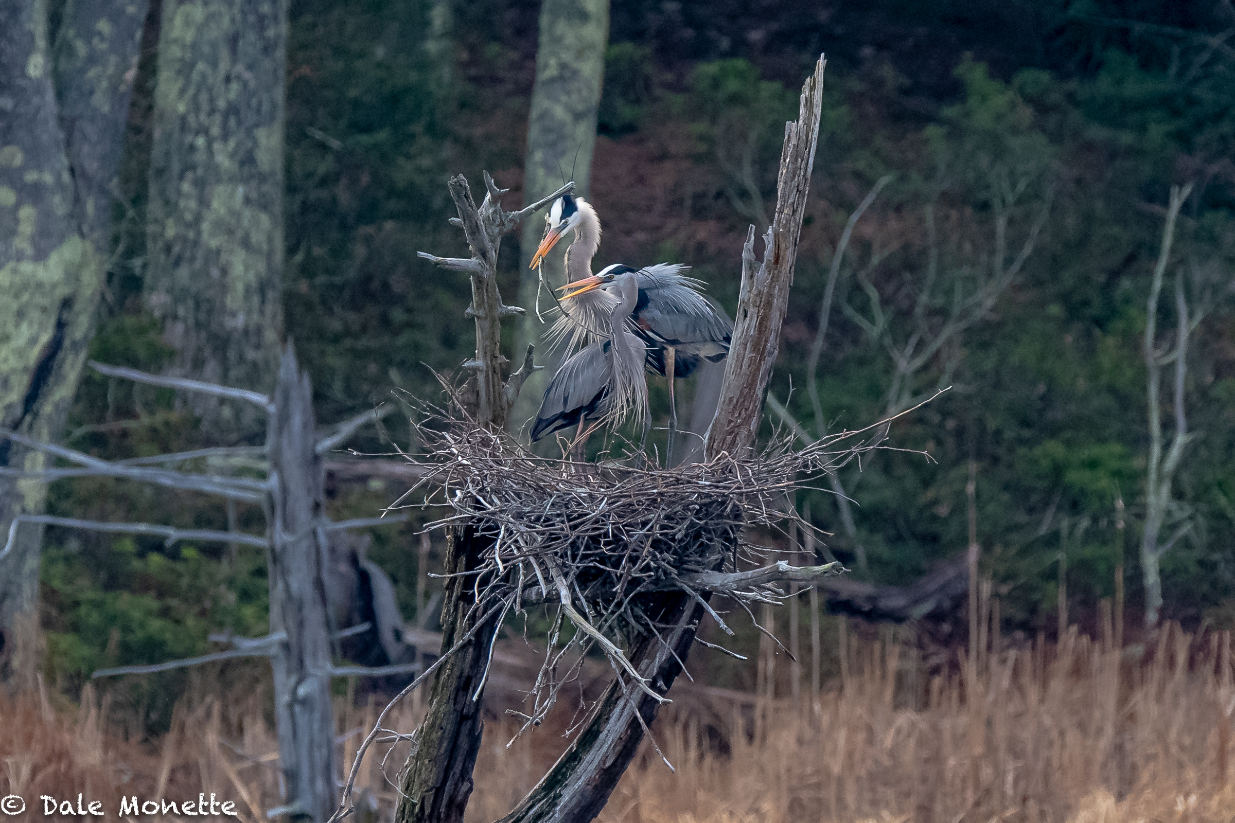 This mated pair of great blue herons spent most of the morning repairing their nest from winters damage. They mate for life and will also use the same nest year after year or until it blows down.