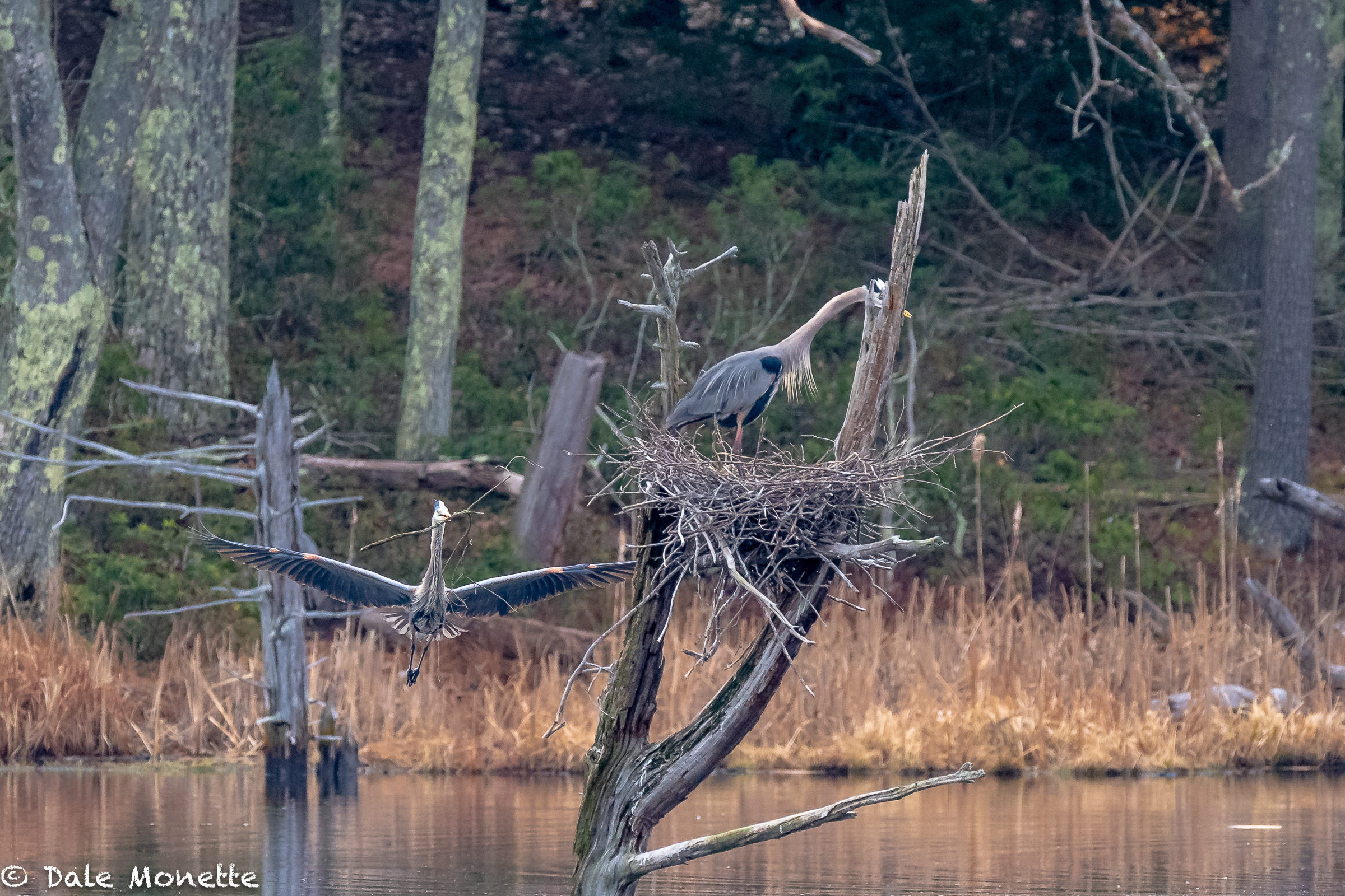 You can see the male great blue heron sneaking up behind the female to deliver her another stick to place in the nest. He collects, and she places as in all GBH pairs.