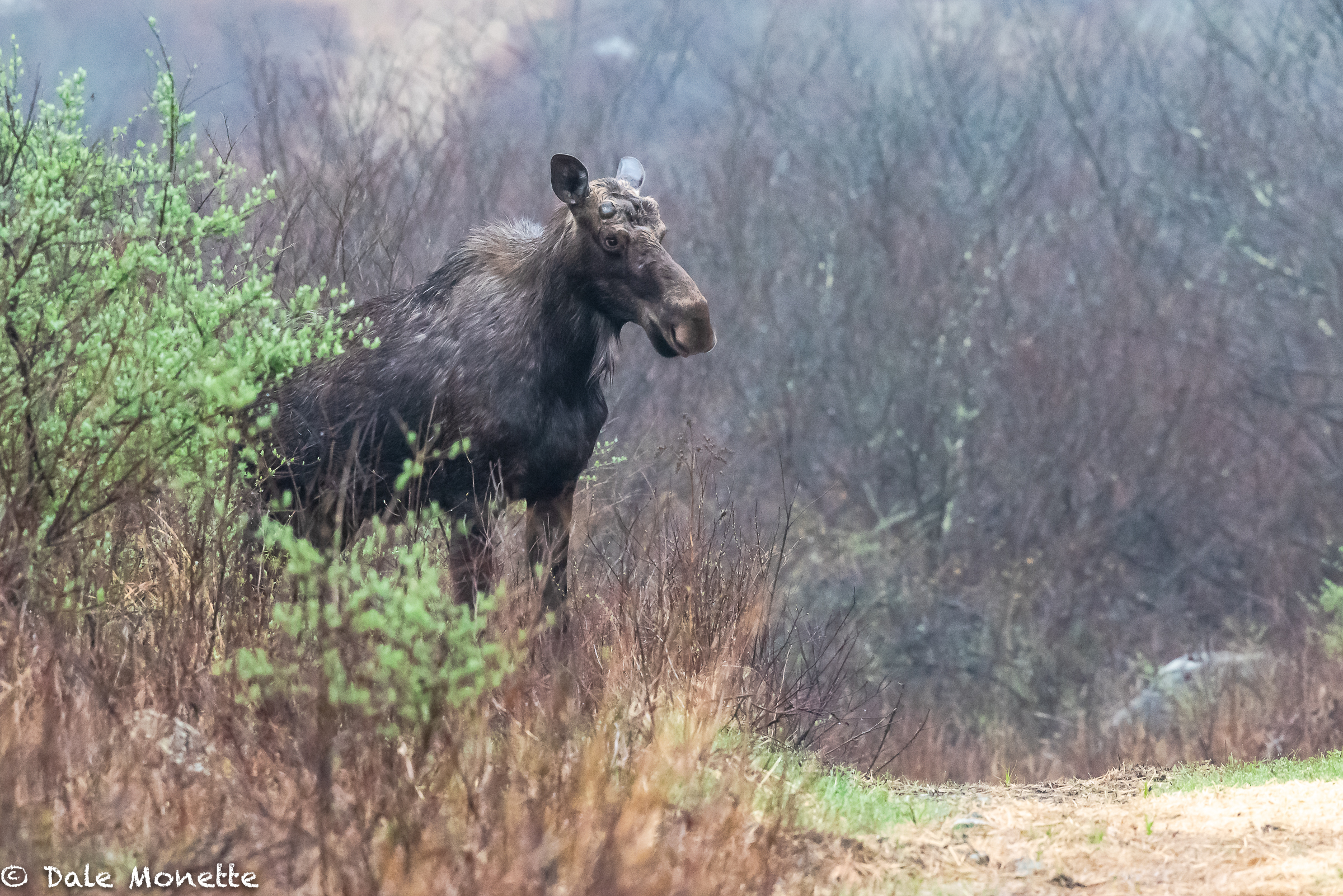 You can see from this image that this is a bull moose. He is just starting to grow his antlers for the fall mating season. Some moose can grow antlers up to 35 pounds !