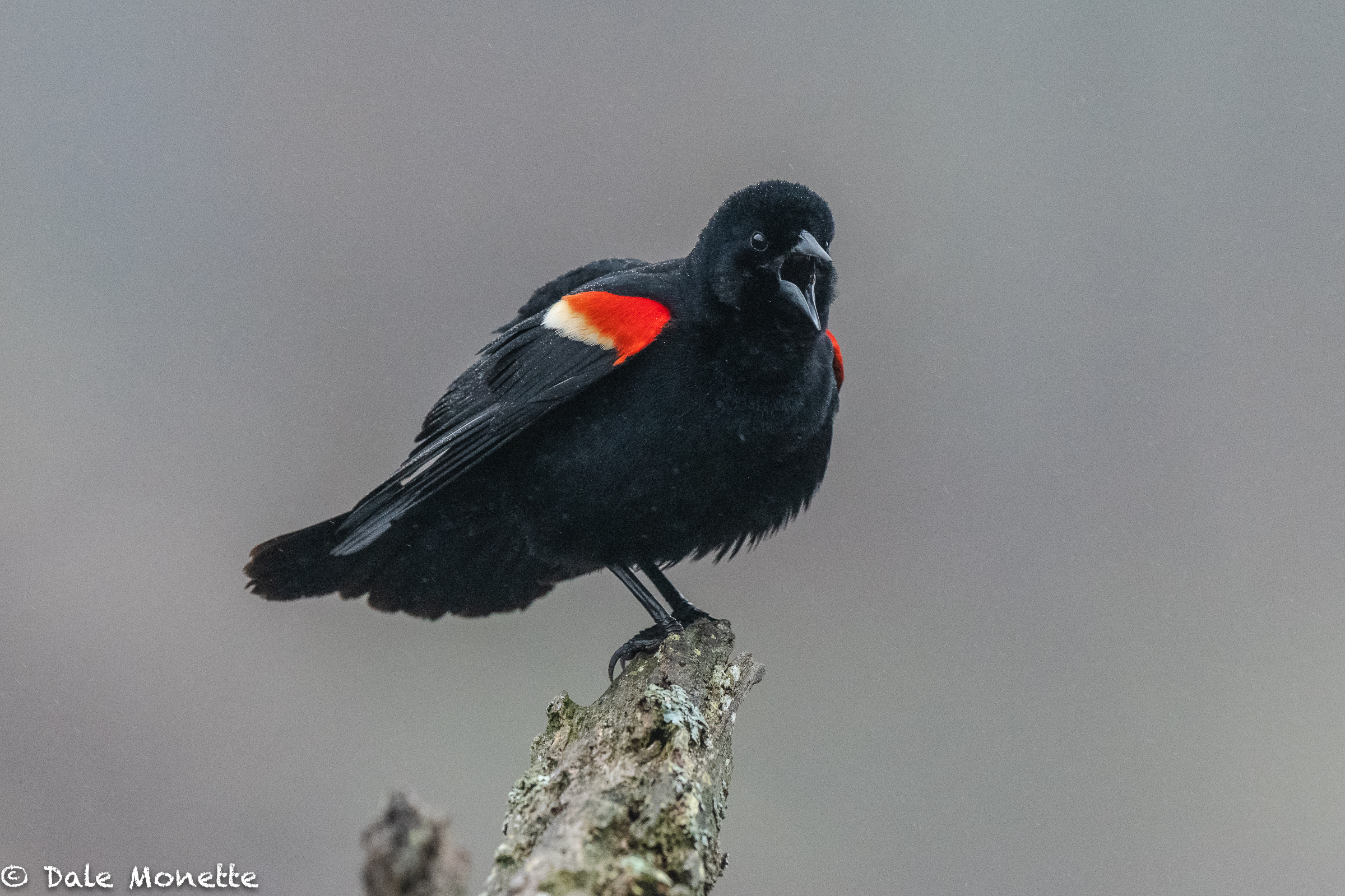 "This red-winged blackbird sits on this stump every time I show up in a certain swamp and serenades me with ""conk-a-reeeeee""….. today it was foggy and misty.   The bird is about 35 feet away from me and this is taken with a Nikon 500mm f4 VR ED lens and a Nikon D850 camera. The ISO was 4000 to get the shutter speed up to 1/350 as it was very dark when he showed up."