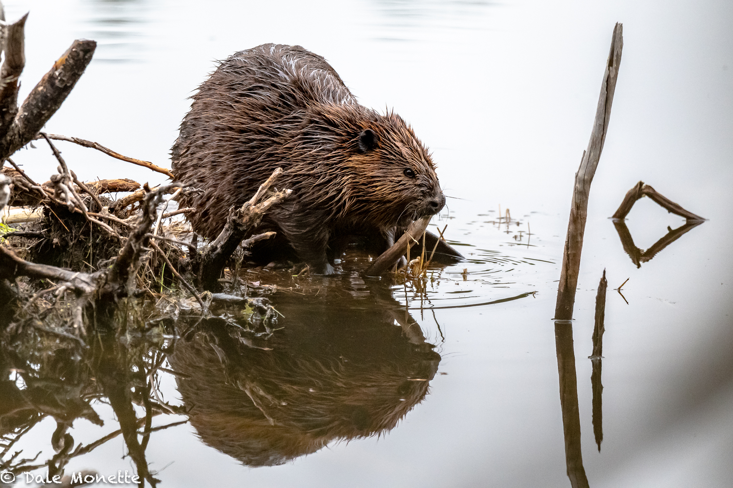 A quick hike in the rain into a favorite beaver pond this morning produced this guy eating a snack before retiring to the lodge today.