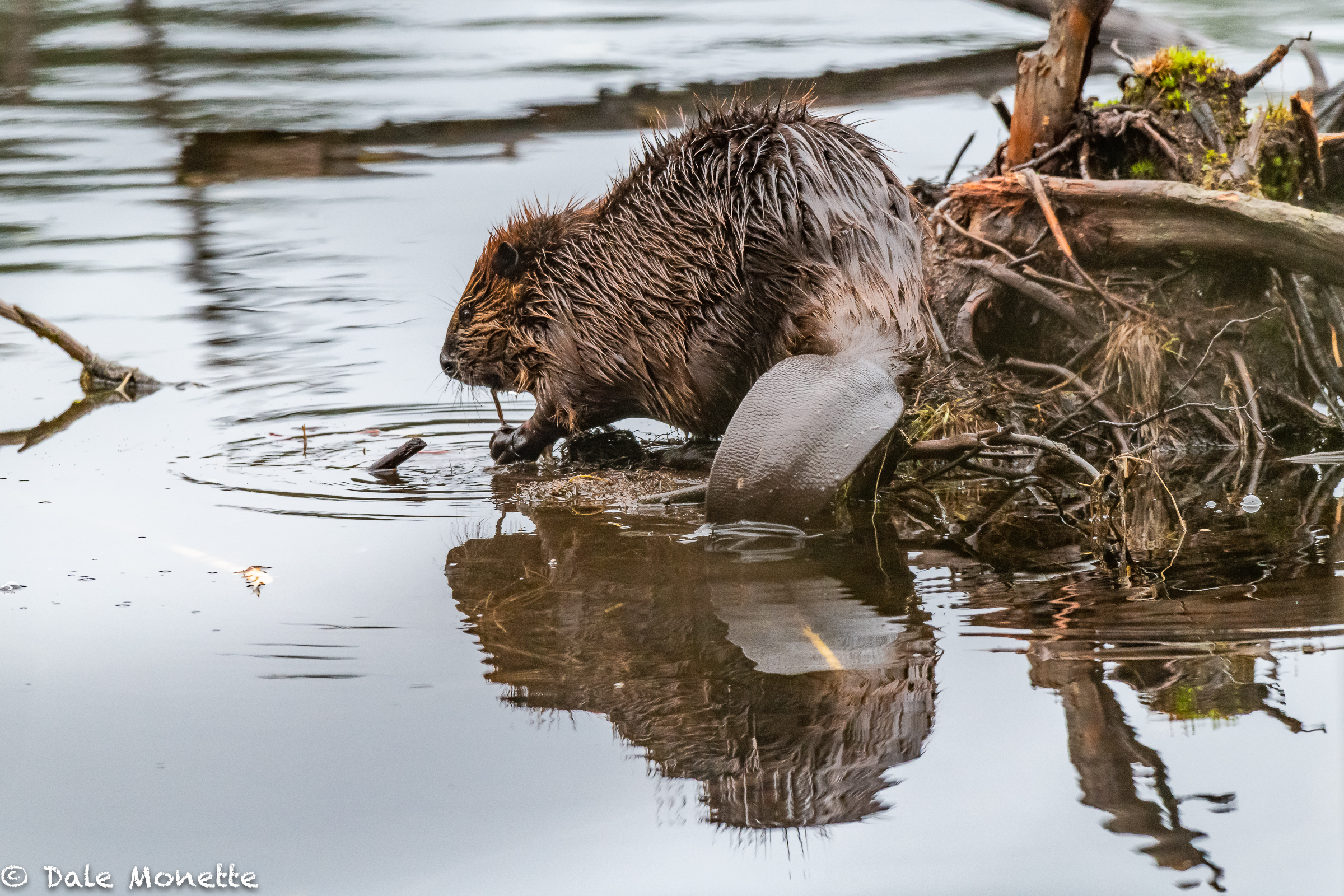 For some reason beavers are liking this spot to stop and feed for a few minutes. Here is a great shot of what a beaver tail looks like if you've never seen one close.