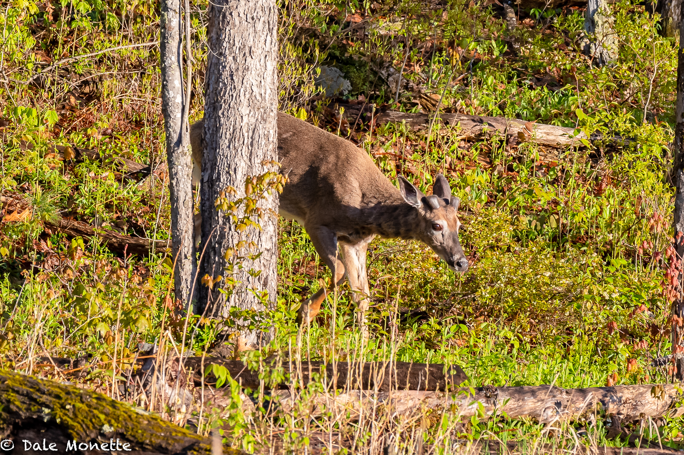 The white-tailed bucks are just starting to grow their antlers right now. Here is a buck who was with another buck and a doe feeding along a beaver pond in the Petersham area yesterday early in the morning. Notice that he is still shedding his winter grayish fur. In a few weeks he will be a reddish brown.