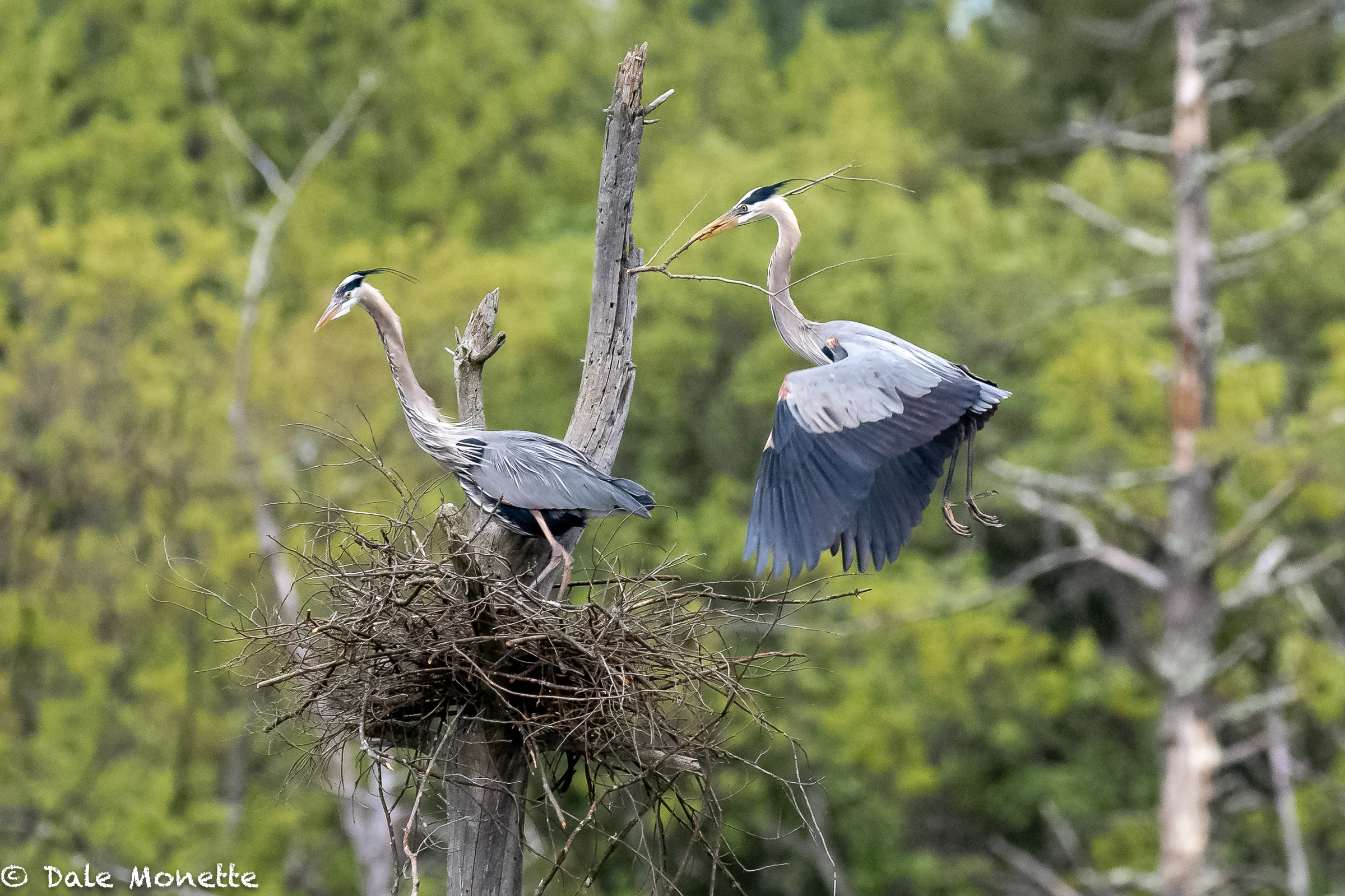 A late nesting great blue heron pair works soon getting up a new nest. The male brings in the sticks and the female places them where she wants them, and this goes on over and over for 3 to 4 days until she is ready for eggs.