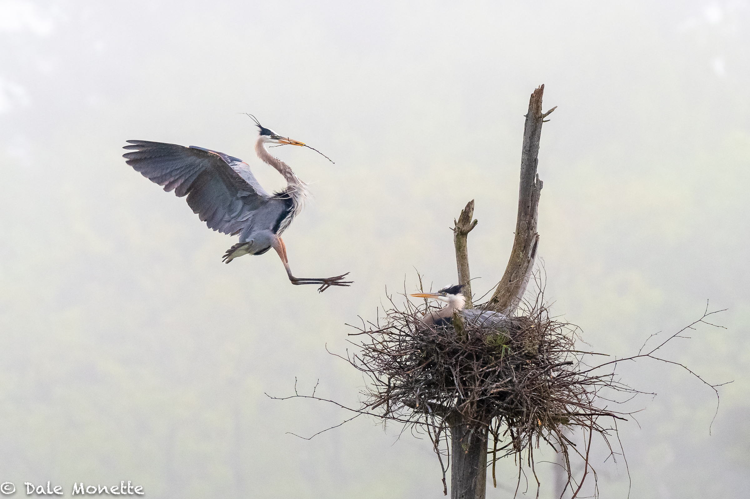 All in 8 days, these great blue herons built a new nest, mated, and in the process of laying eggs. Still a little building to do. Its going to be a close call if these guys can fledge chicks. The chicks will have a challenge to have enough time to gain enough strength to migrate this fall. Great dissipating fog this morning in the swamps. Did I mention mosquitoes??