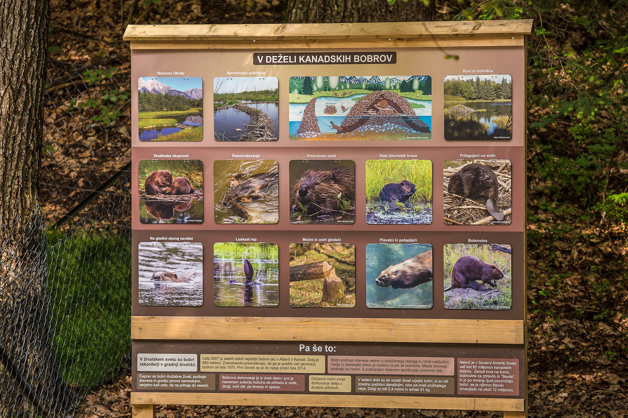 I have 8 beaver images being used on 4 of these information boards at a beaver exhibit at the Ljubljana ZOO in Ljubljana, Slovenia in Europe.  Theres 3 on this particular board.   Cool beans huh !