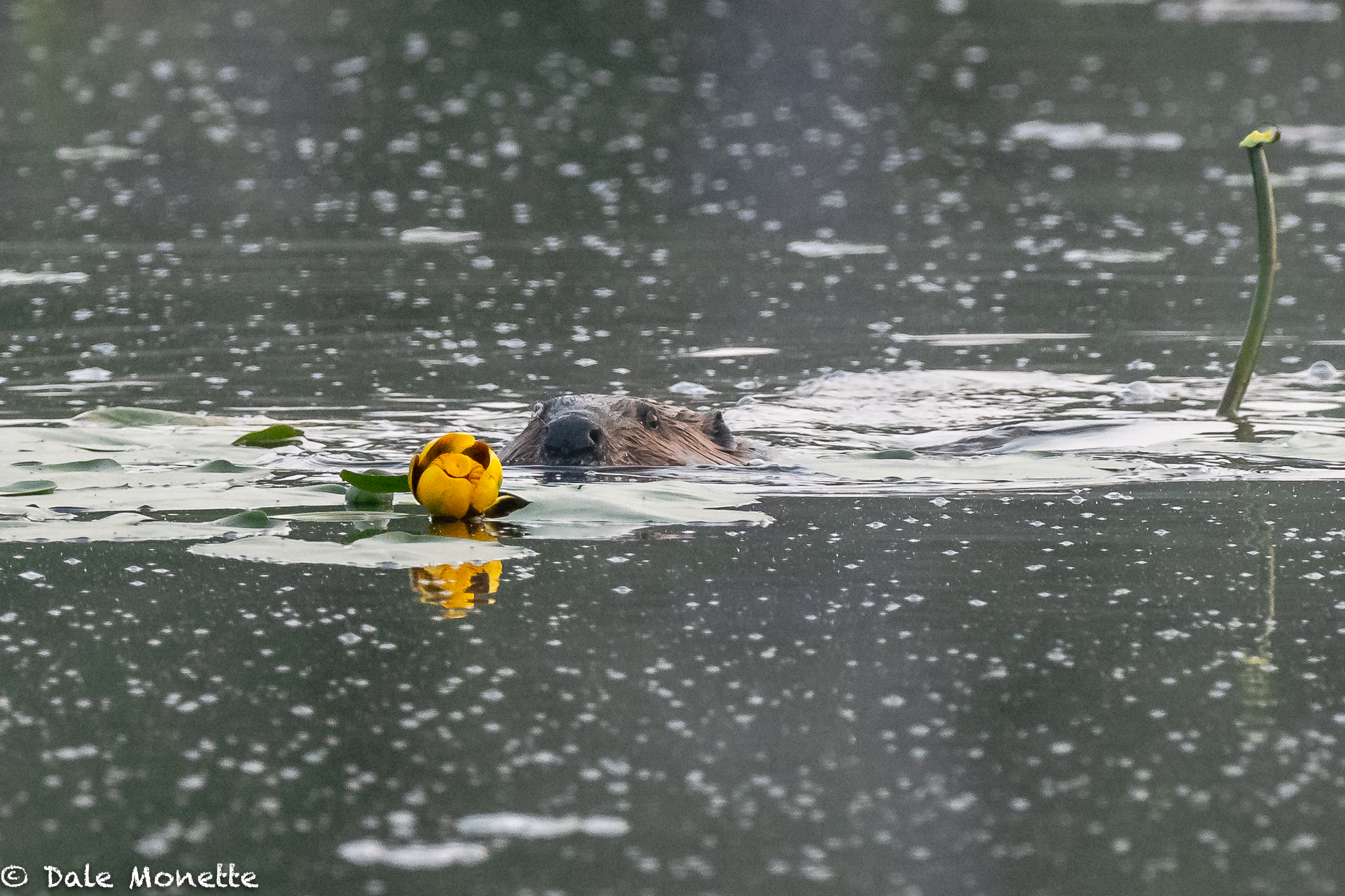 This beaver was eating water Lillies this morning before he hit the lodge for the day. He cleaned out one full patch in the pond   You can see the stem of the one he just finished to the right.