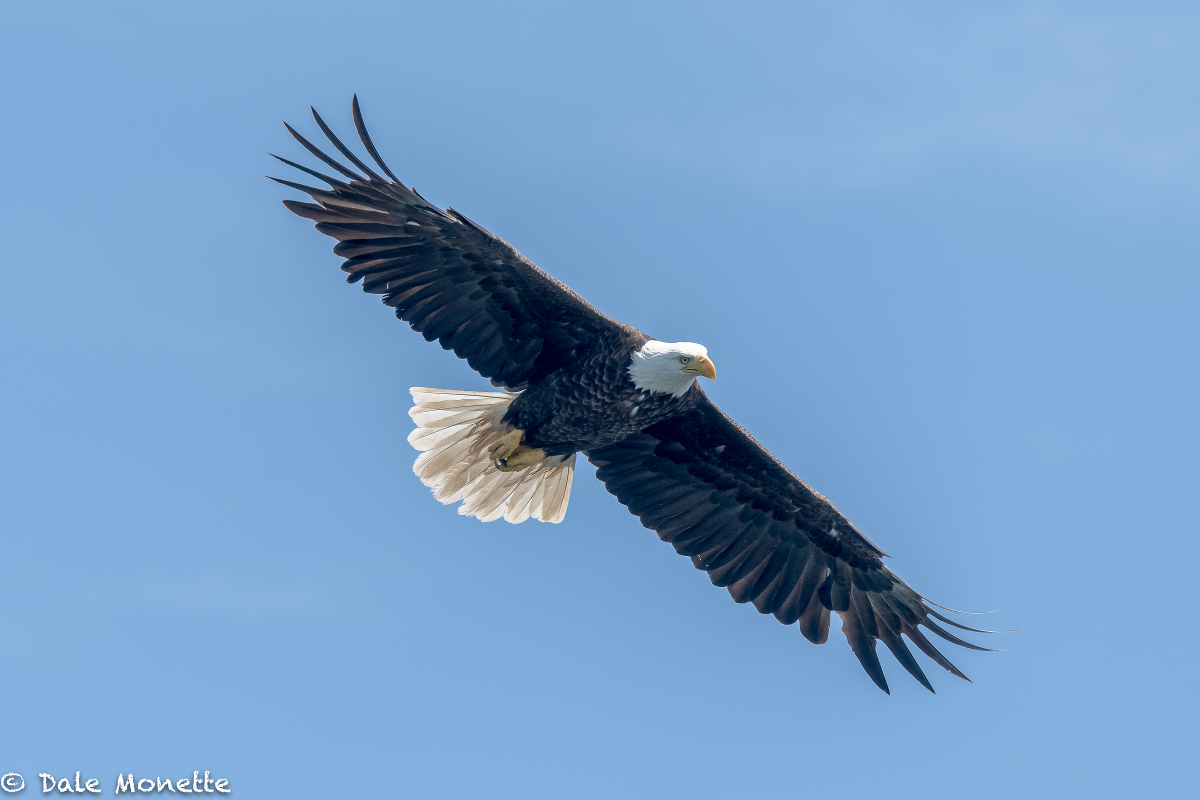 A Cape Breton, Nova Scotia bald eagle soars overhead looking for a quick fish dinner.