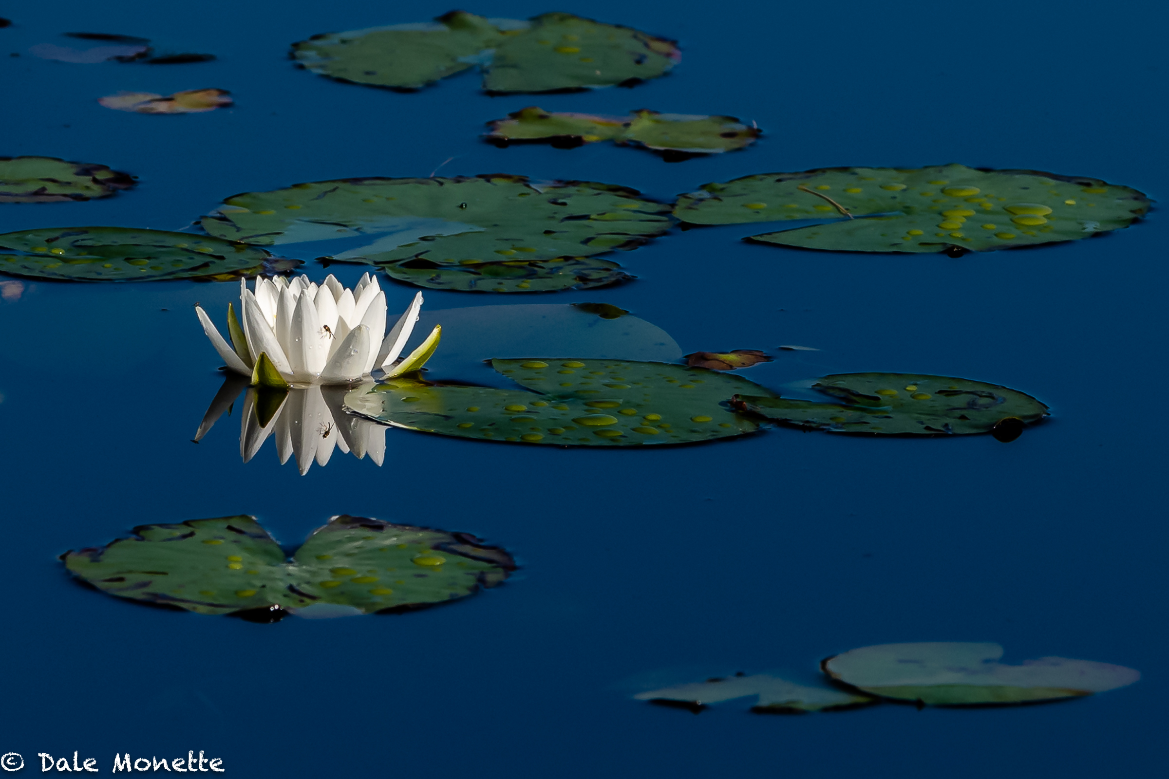 Water Lily, I know not what kind!
