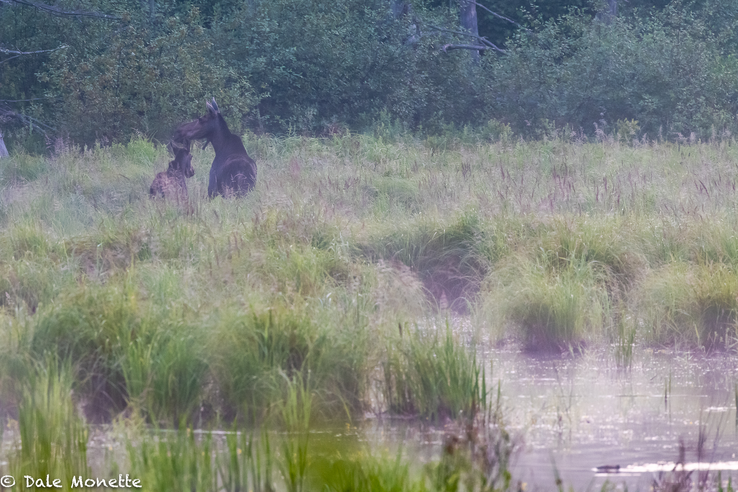 I found these 2 moose in a swamp this morning while it was still quite dark. A mother and it looks like moose from last year still with her. Can you spot the beaver ?