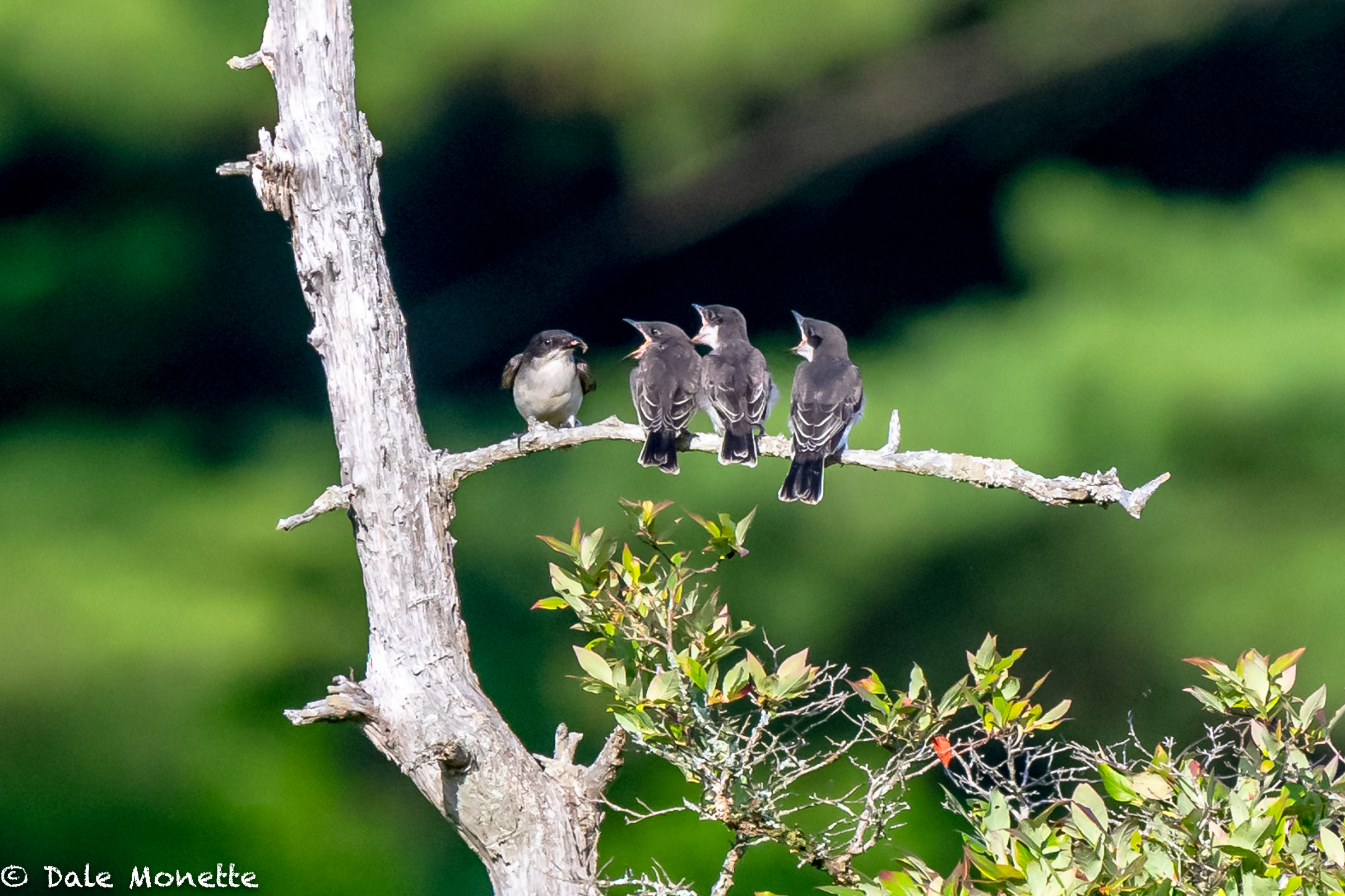 An adult kingbird lines up the kids for bugs, and blueberries…