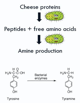 """During aging, proteins in cheese are broken down via bacteria to form peptides and free amino acids. Some of these bacteria produce amines such as tyramine. Usually the high concentration of MAO in the intestinal mucosa breaks down excess tyramine in the body. However, the use of MAOIs inhibit this activity, and thus tyramine can build up. This """"pressor"""" amine can then lead to hypertensive crisis."""
