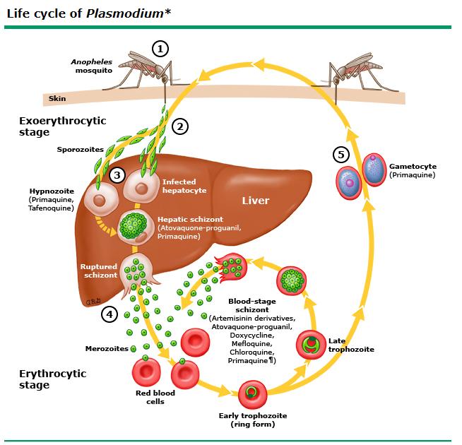 malaria.jpg.png