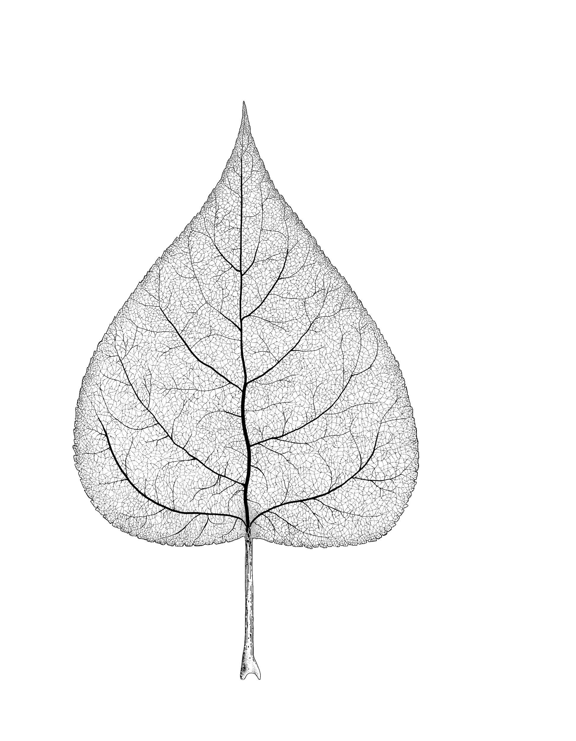 trichocarpa14.jpg