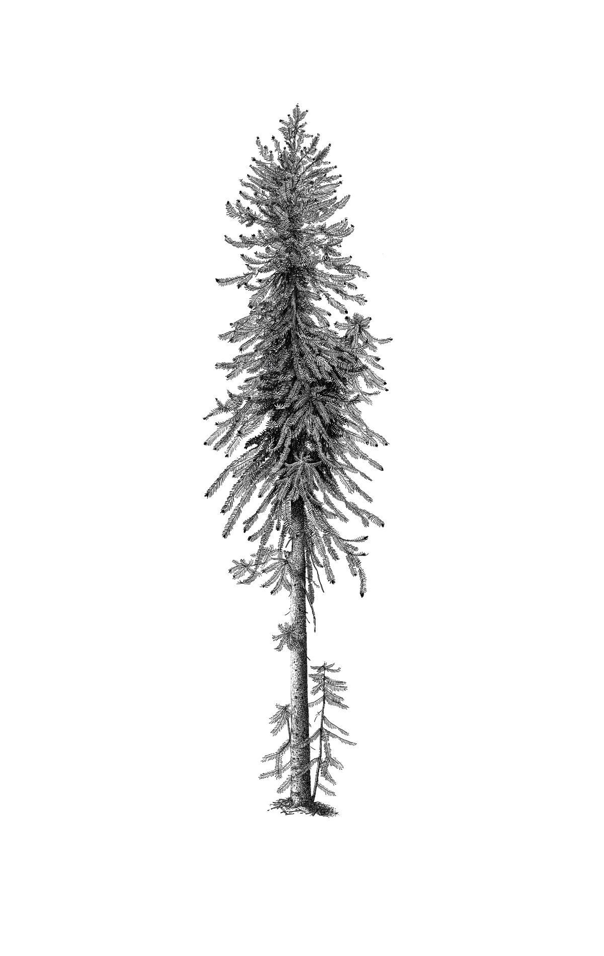wollemi pine9.jpg