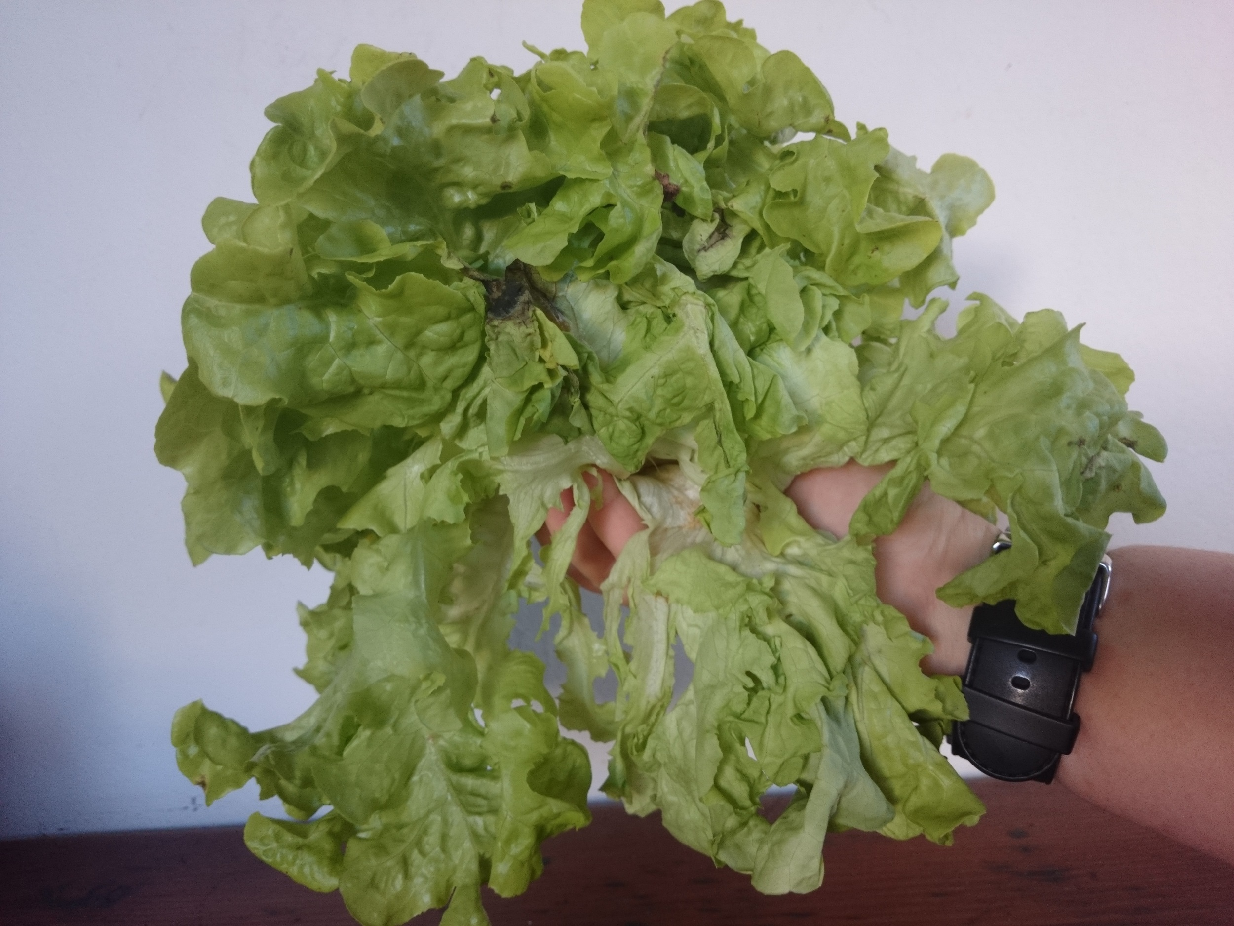 This lettuce needs reviving.