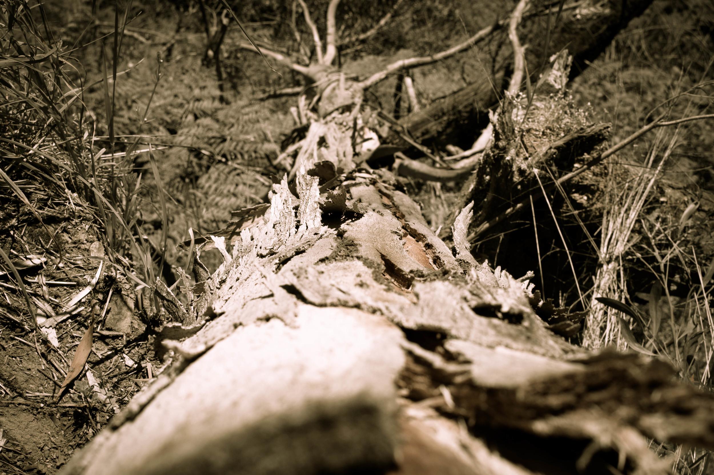 Australia Tree.jpg