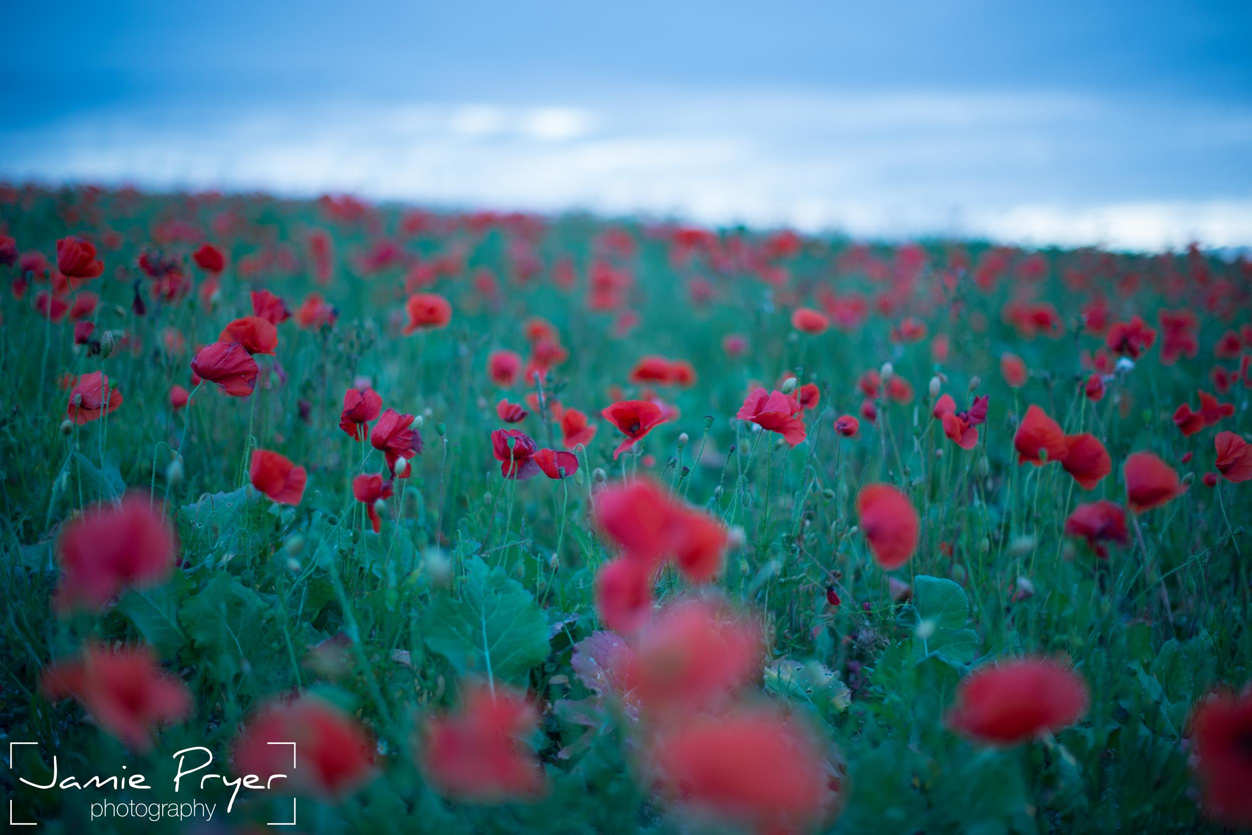 Poppies7.jpg