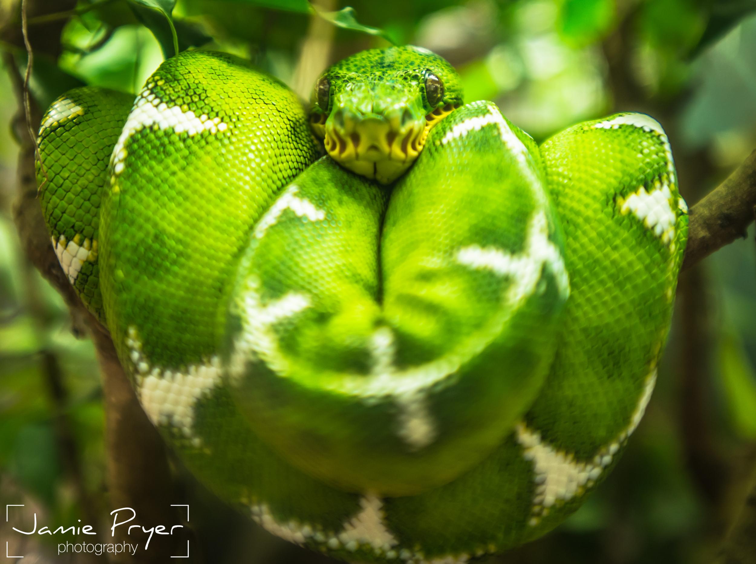 Tree Snake.jpg
