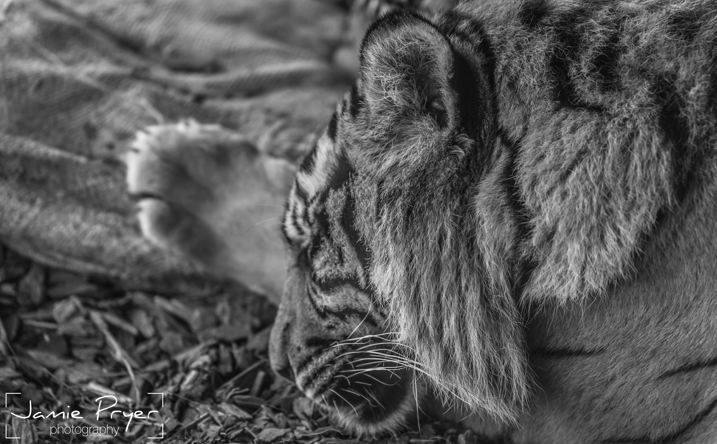 Sleeping Tiger.jpg