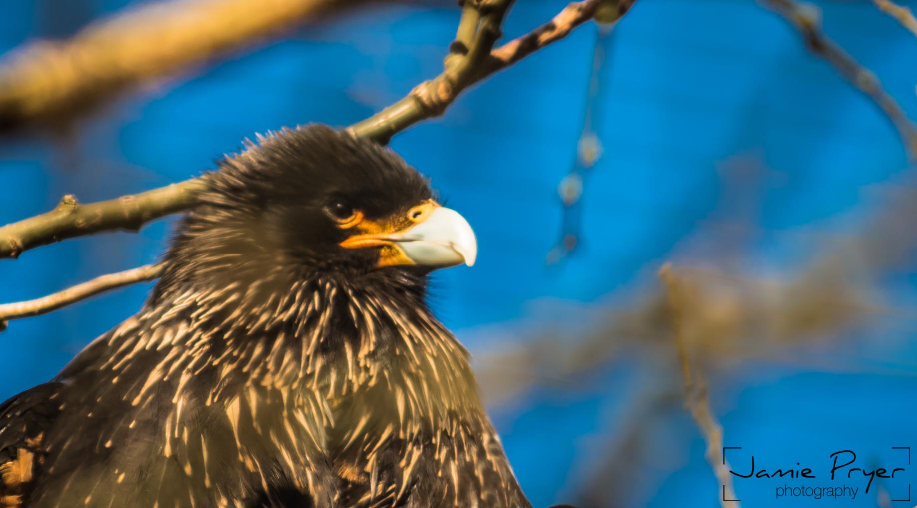Watching Eagle.jpg