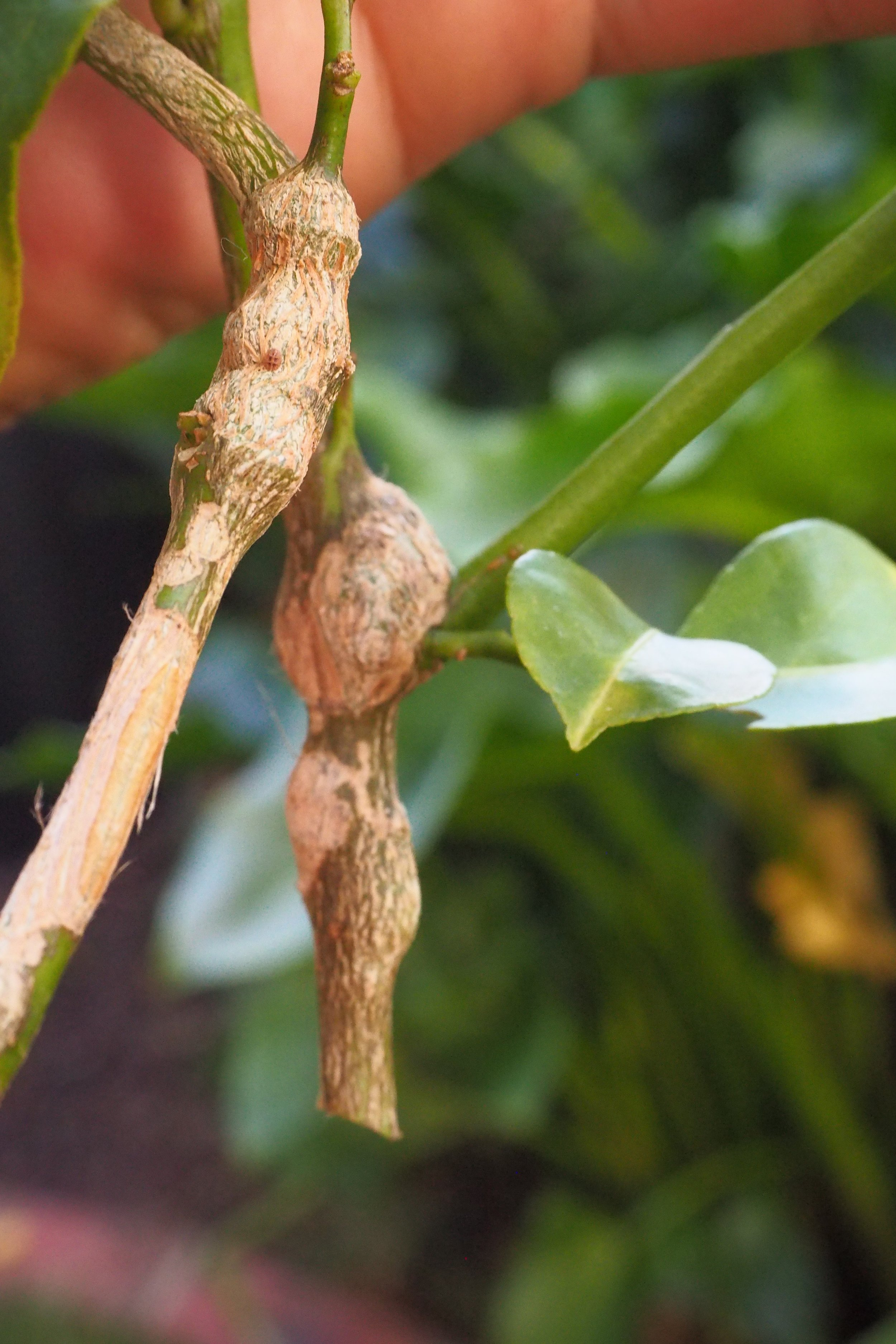 That would be Gall Wasp!