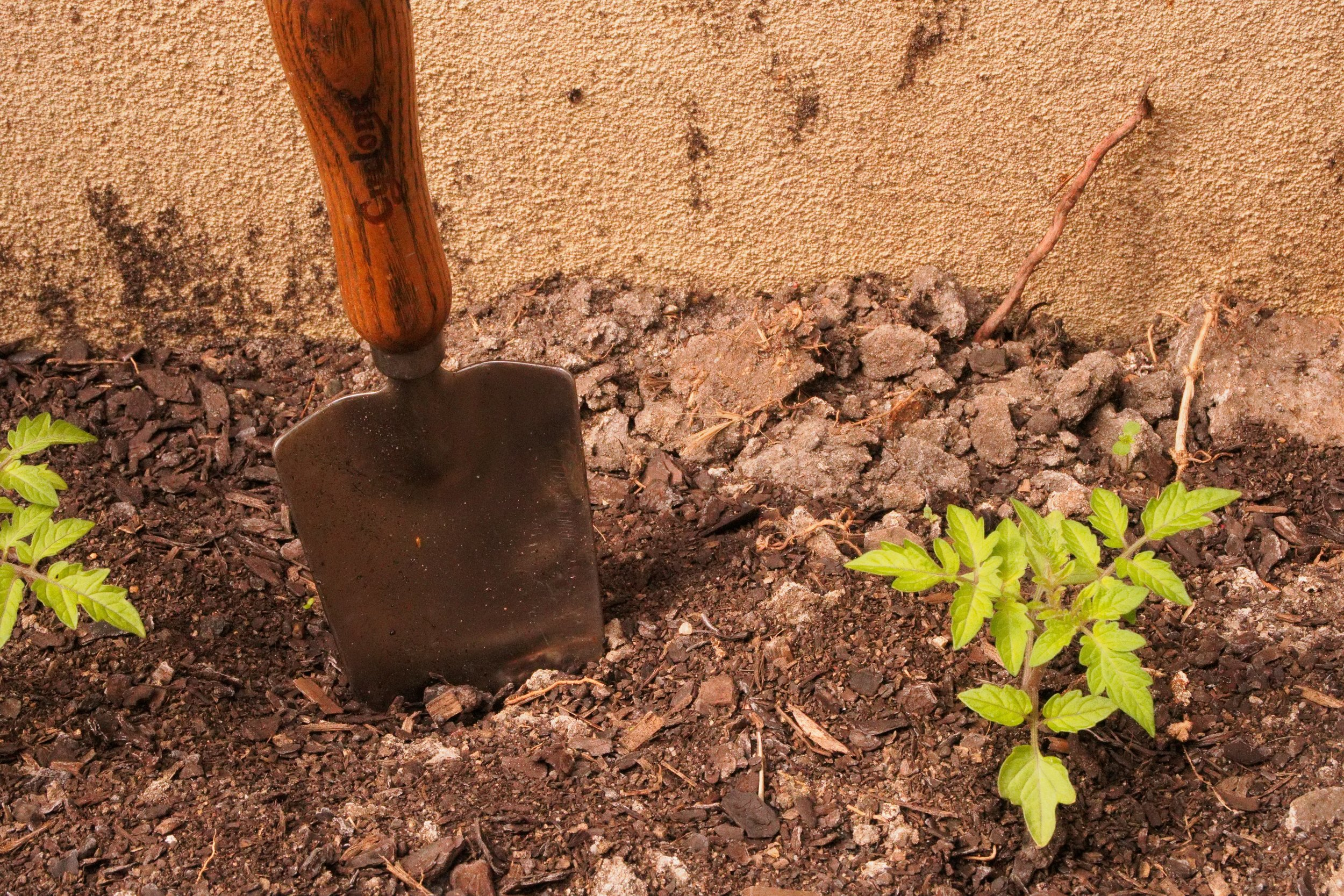 Plant young tomatoe seedlings deeper to allow for stronger root growth.